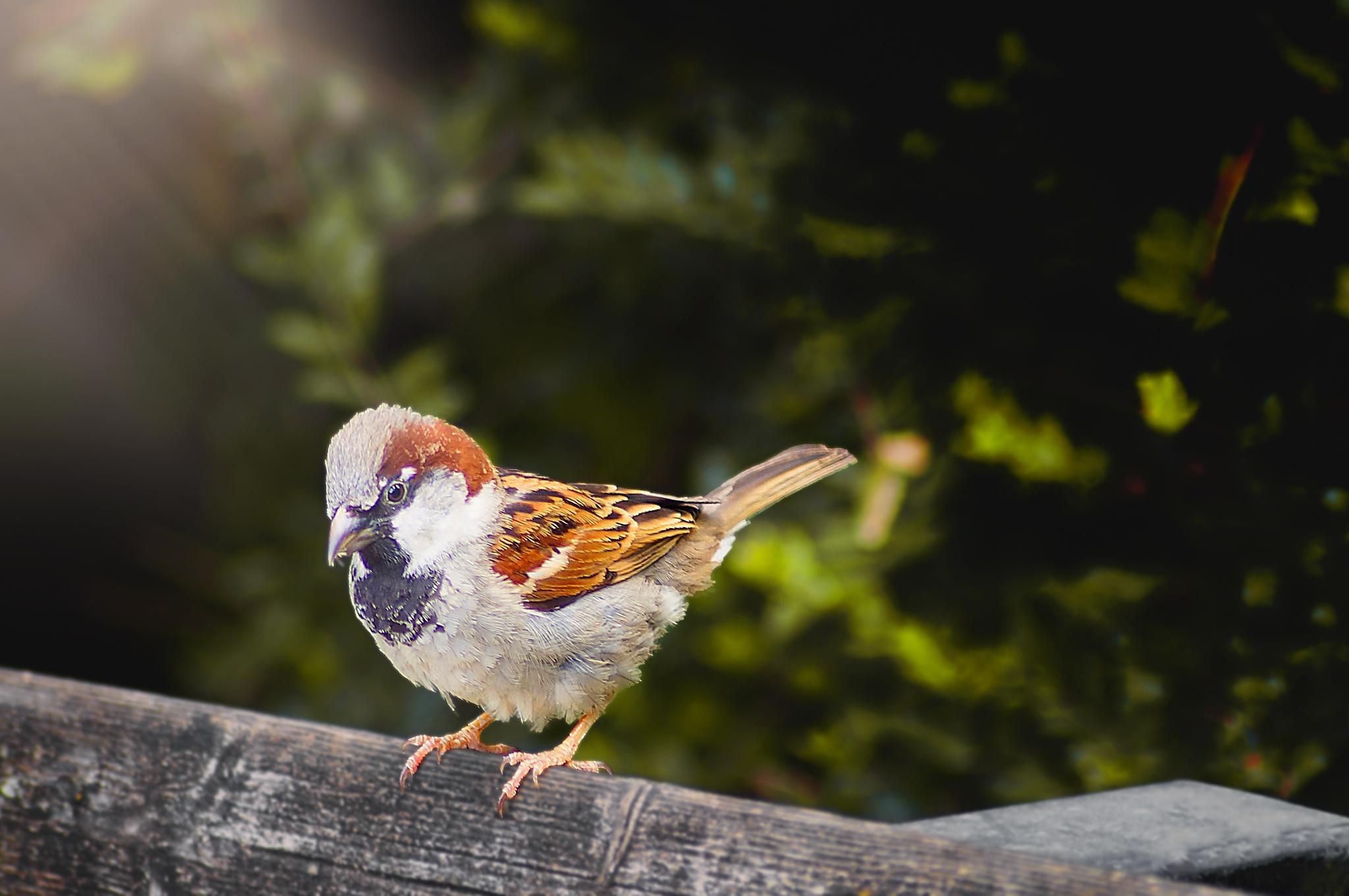 Sparrow by Mustafa Celebi