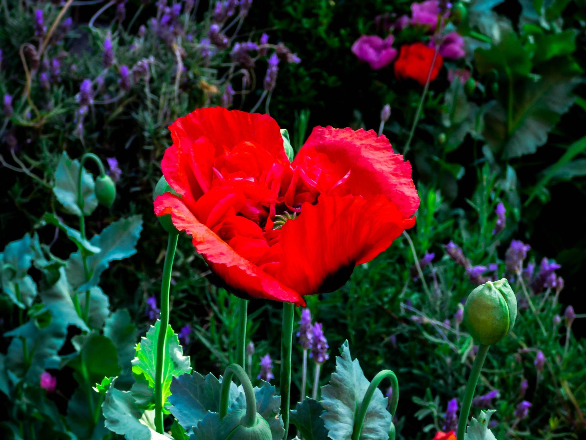 Poppy by Roberto Justo Robiolo