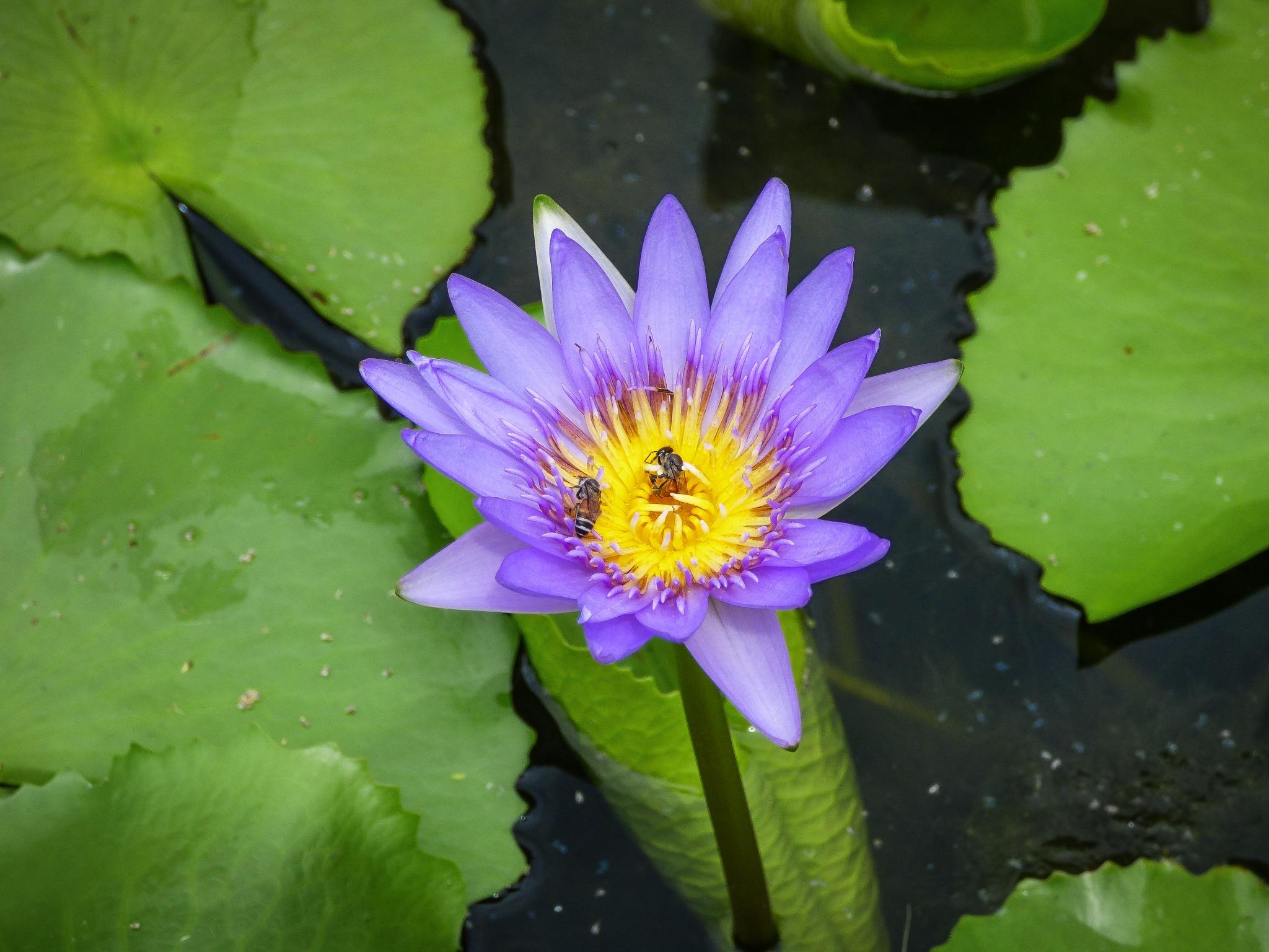 Lotus by Roberto Justo Robiolo