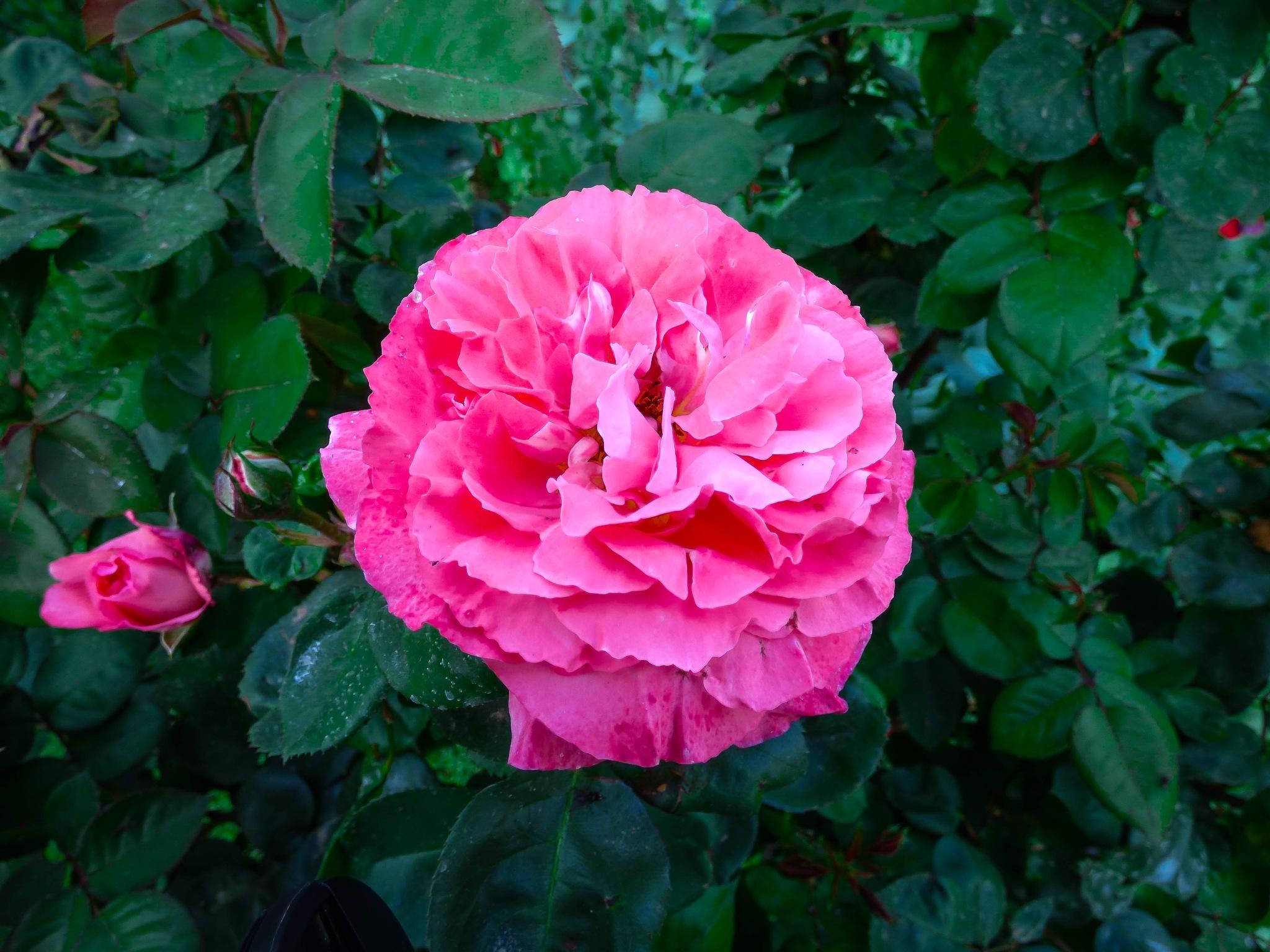 Rose by Roberto Justo Robiolo