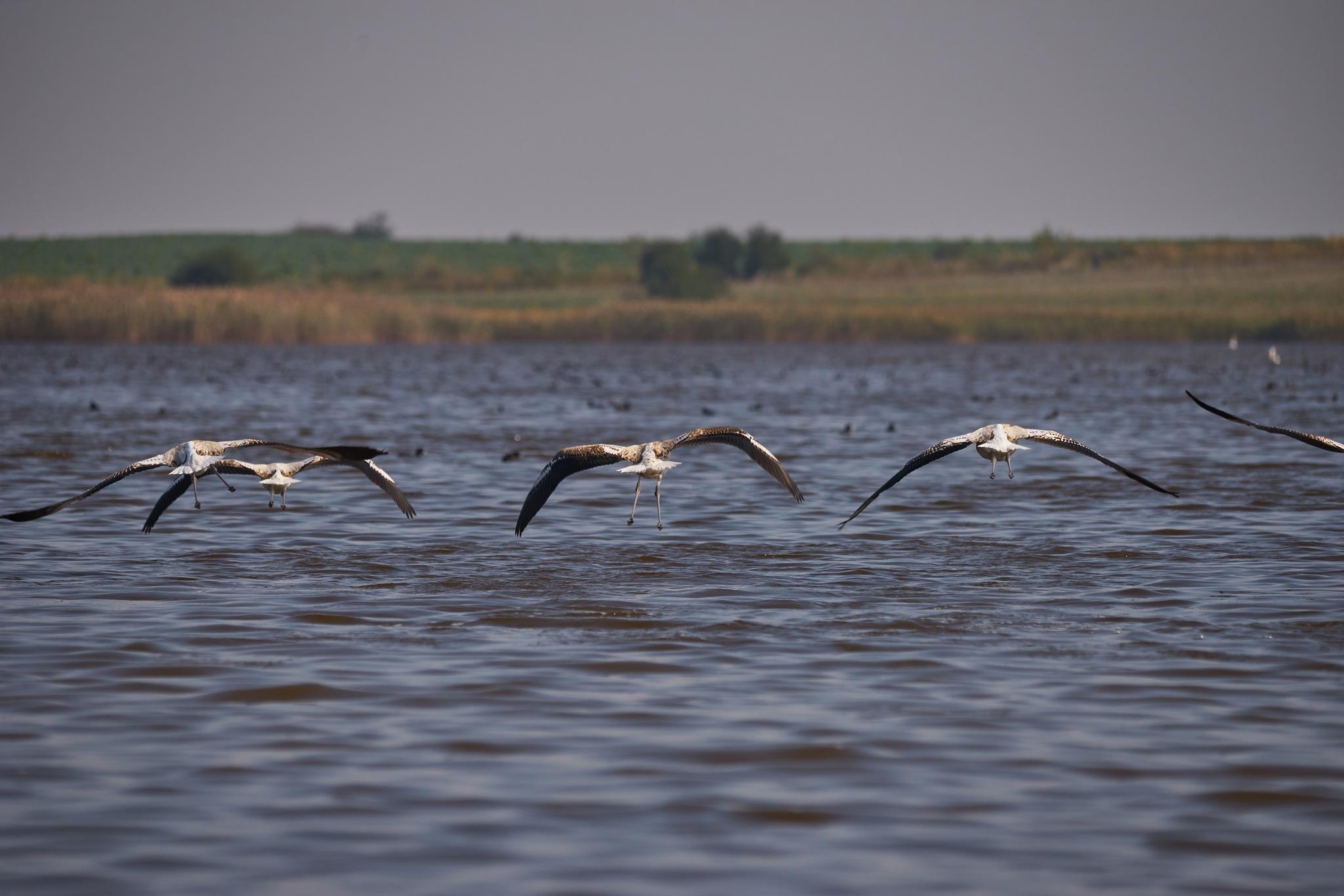 Flamingo by Sorin Gudumac