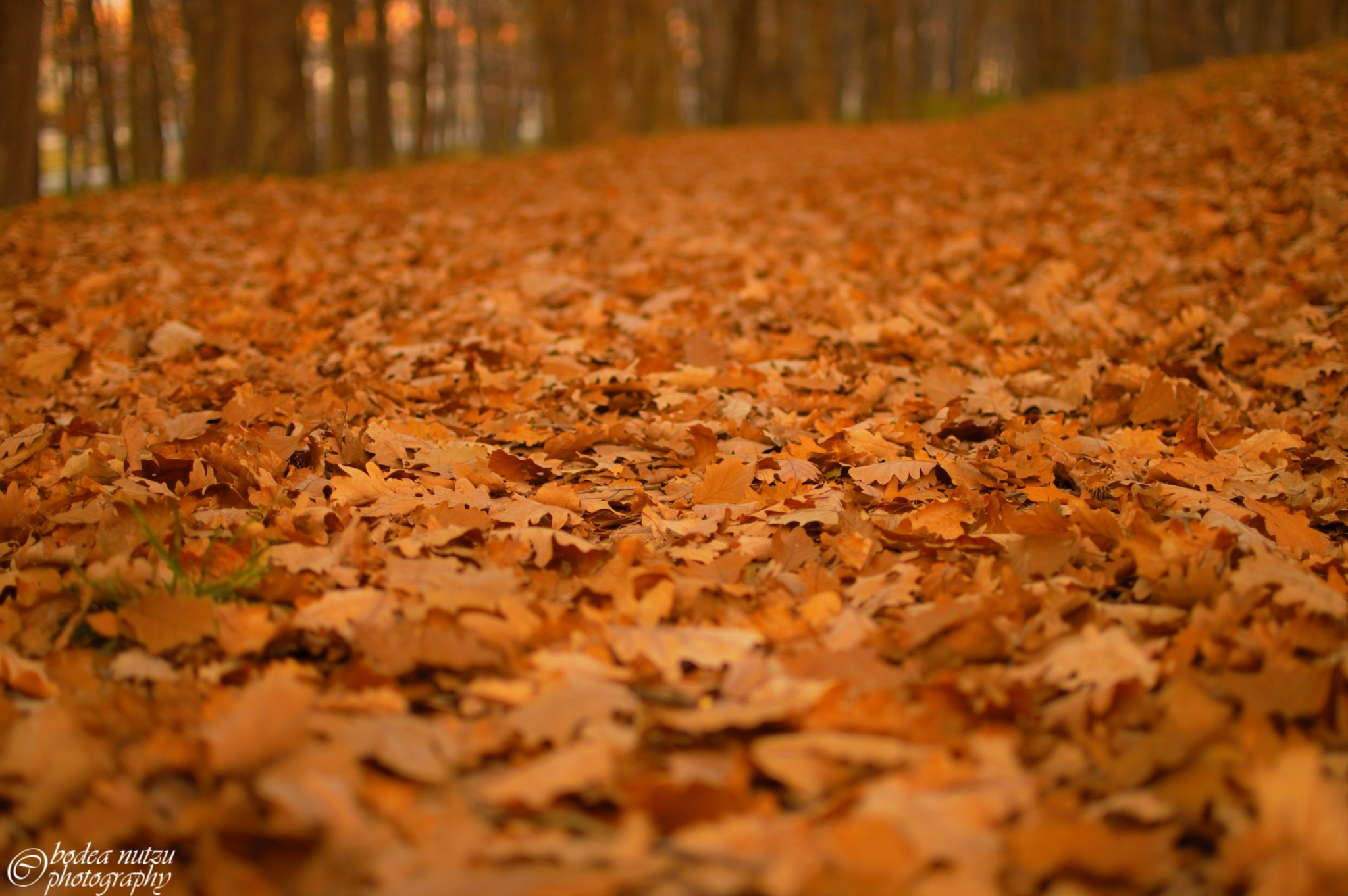 carpet of leaves by Bodea Nutzu