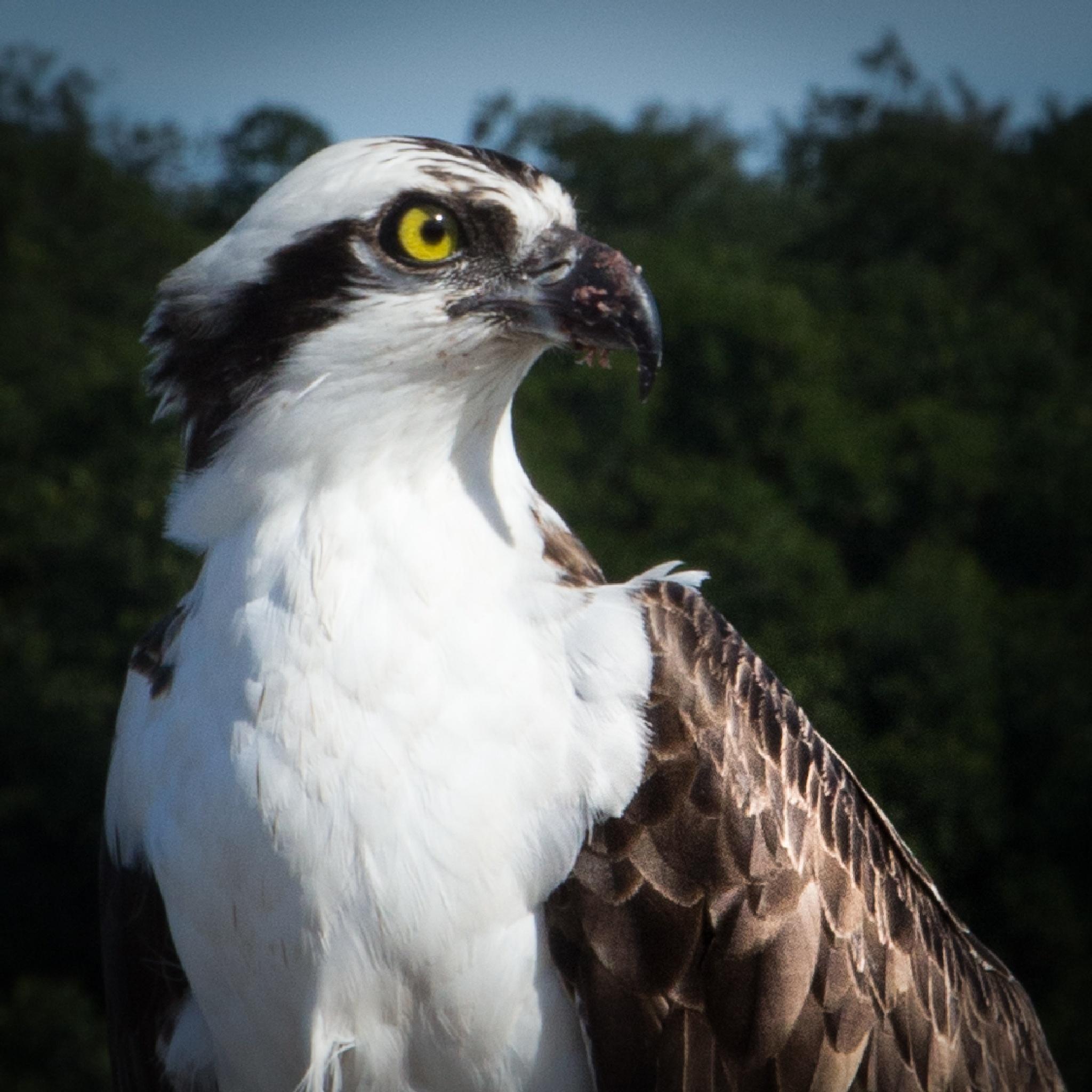 Osprey by Karographix