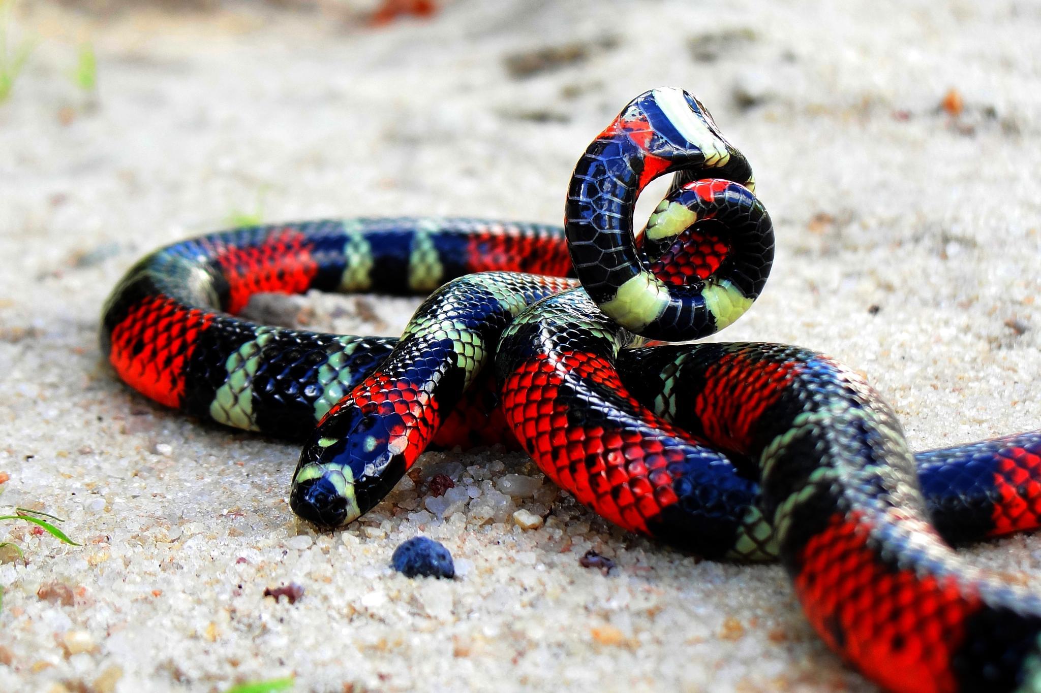 Brazilian Coral Snake (Micrurus potyguara) by Willianilson Pessoa