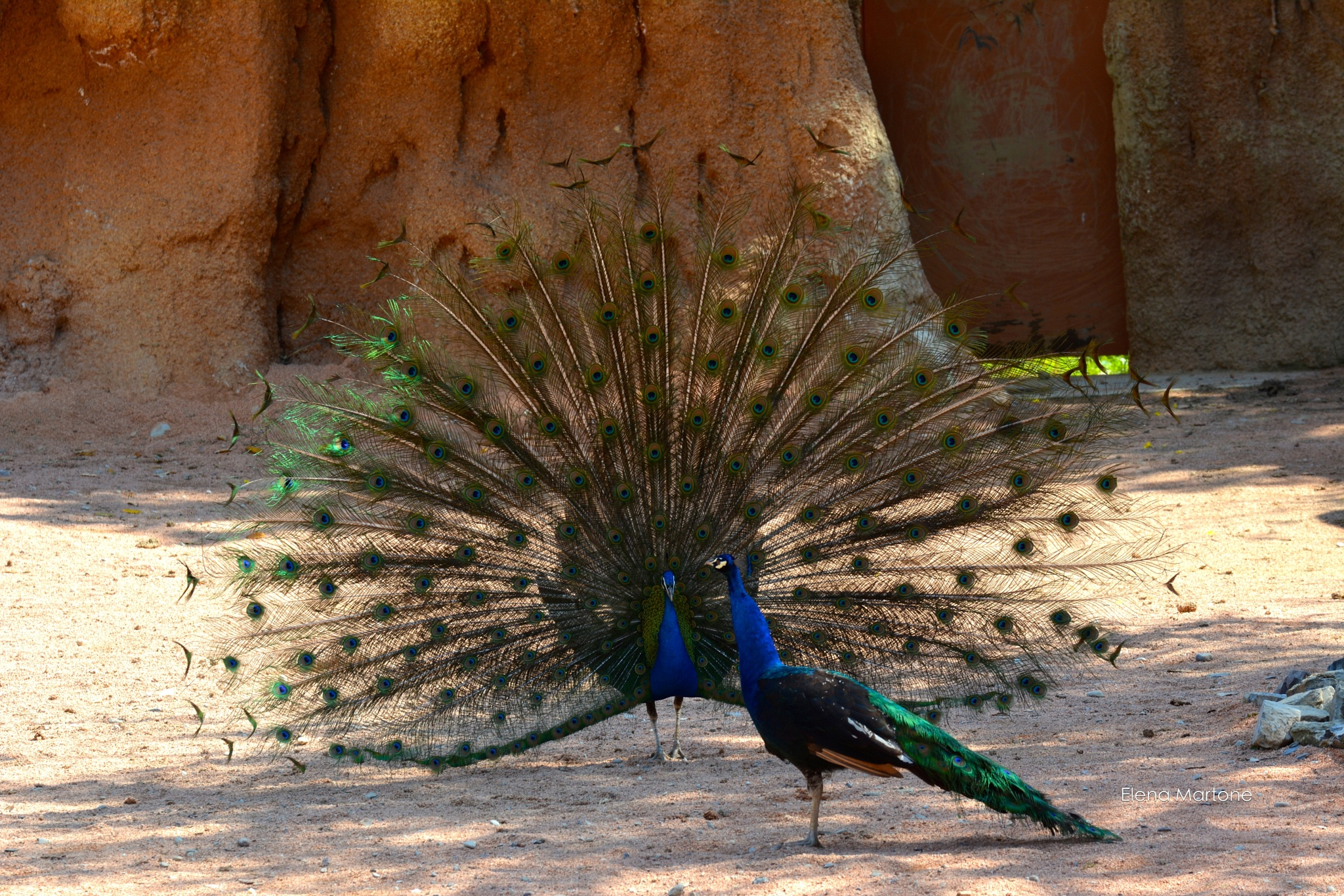The peacock male courts the female by elenamartone
