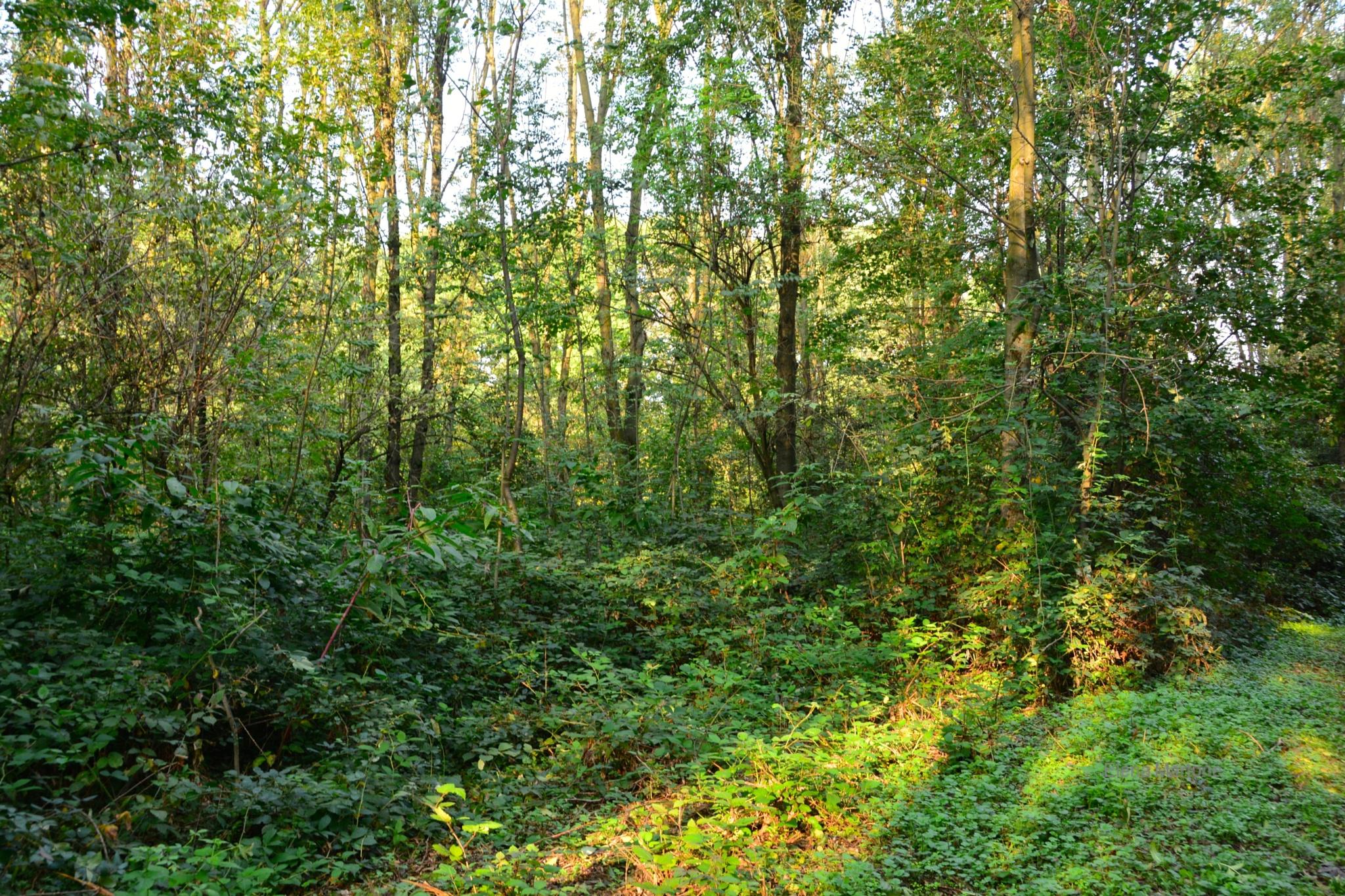Gli ultimi raggi di sole tra gli alberi del bosco by elenamartone
