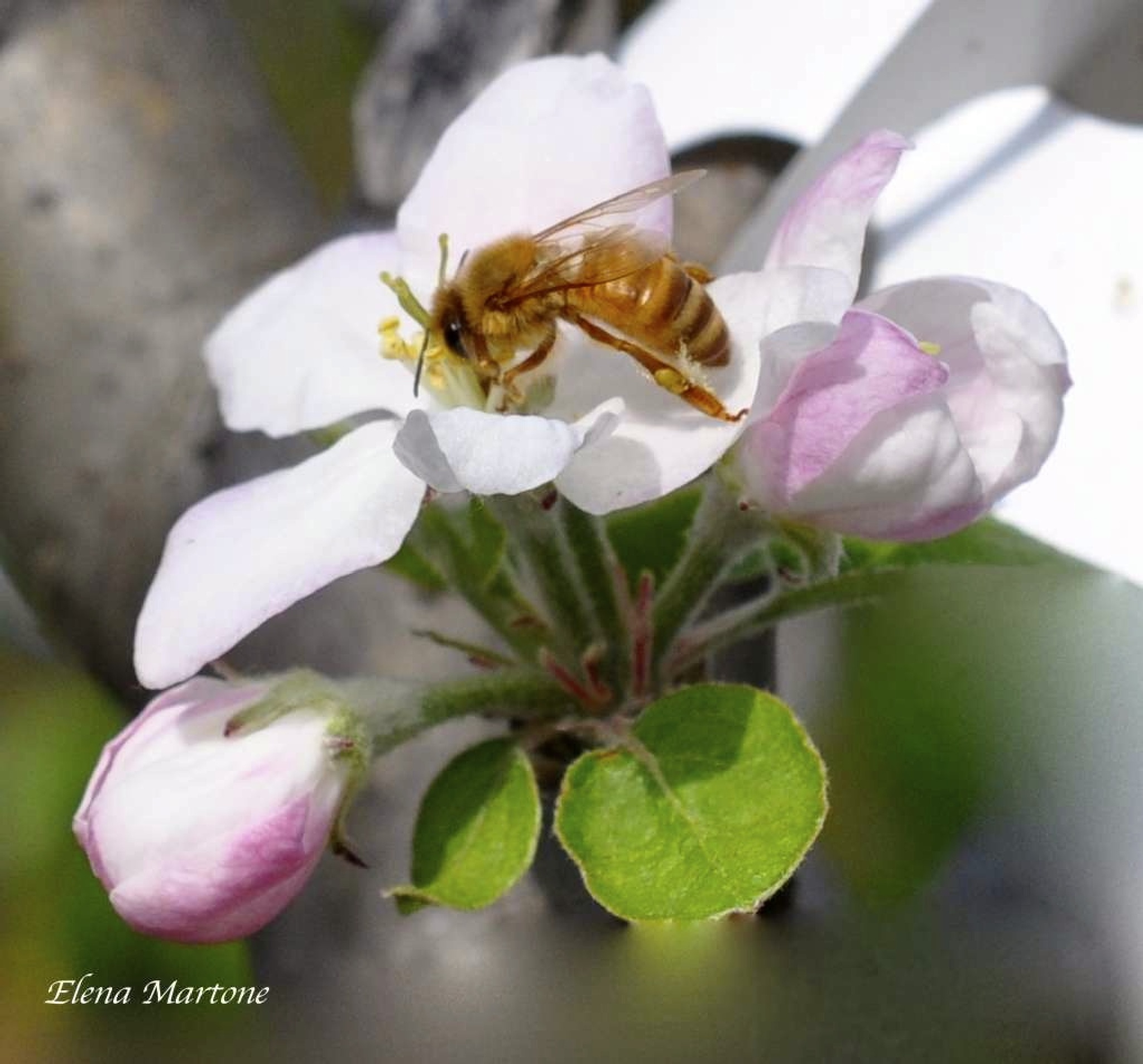 Il fiore del melo by elenamartone
