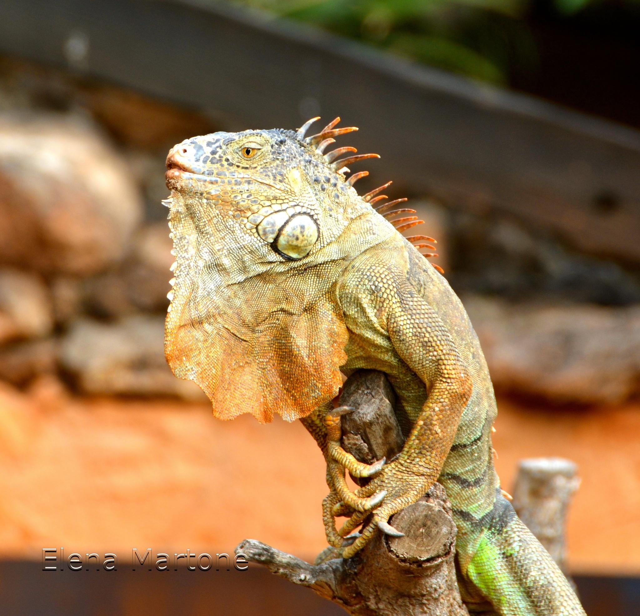 Iguana by elenamartone