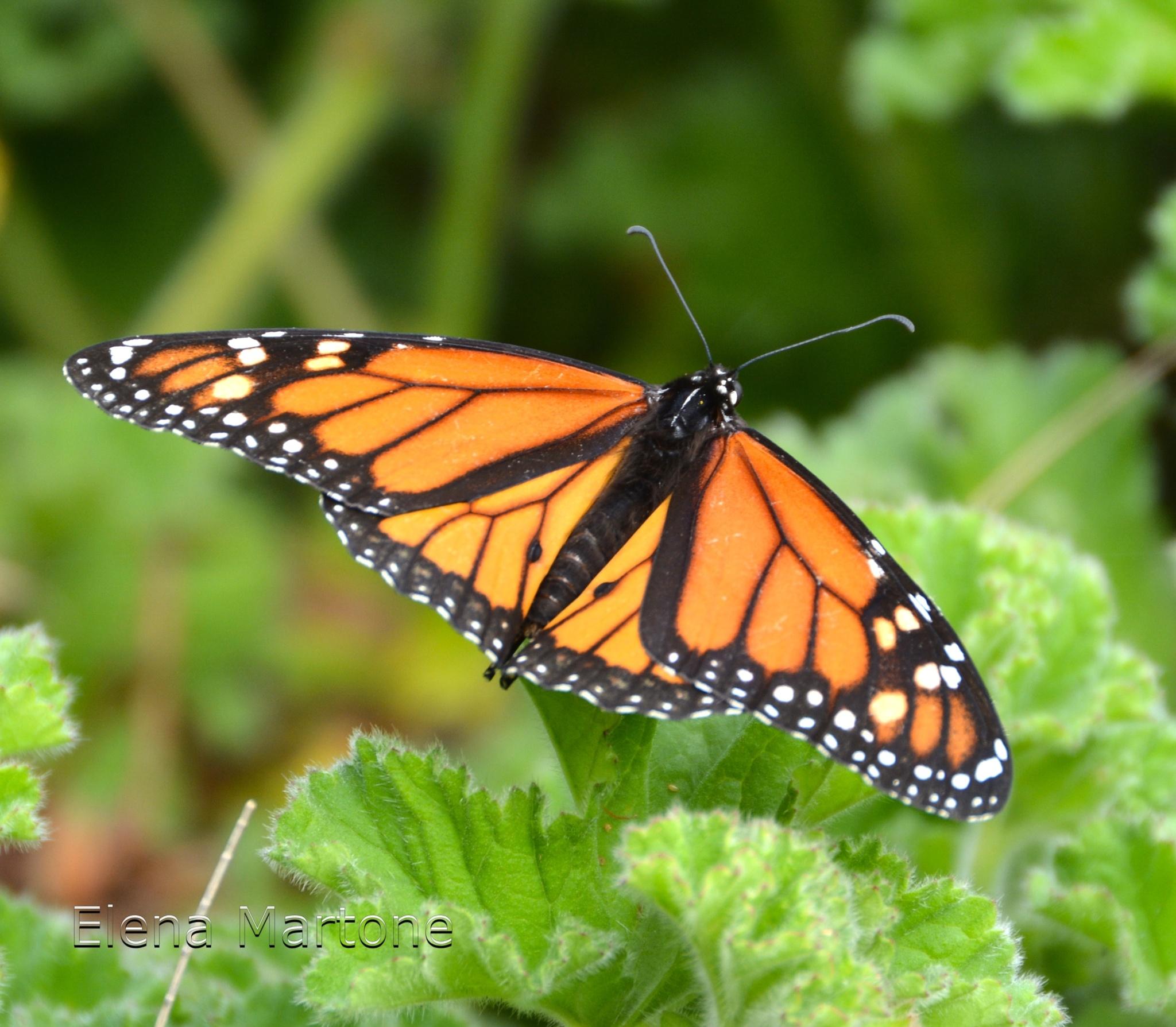 Farfalla by elenamartone