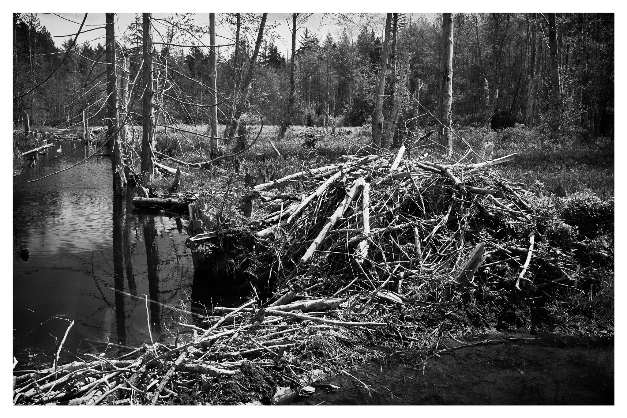 Beaver lodge and dam by Greg Mullaly