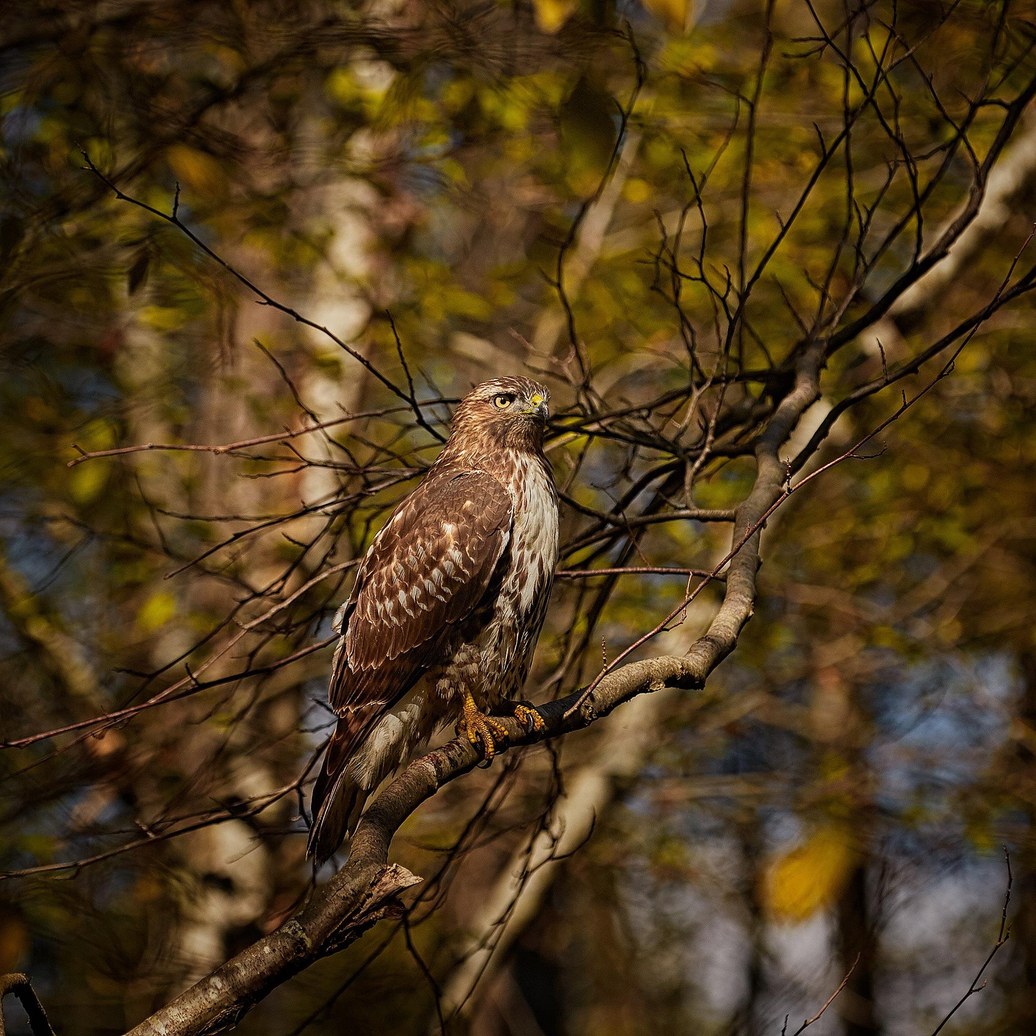 Hawk by Greg Mullaly