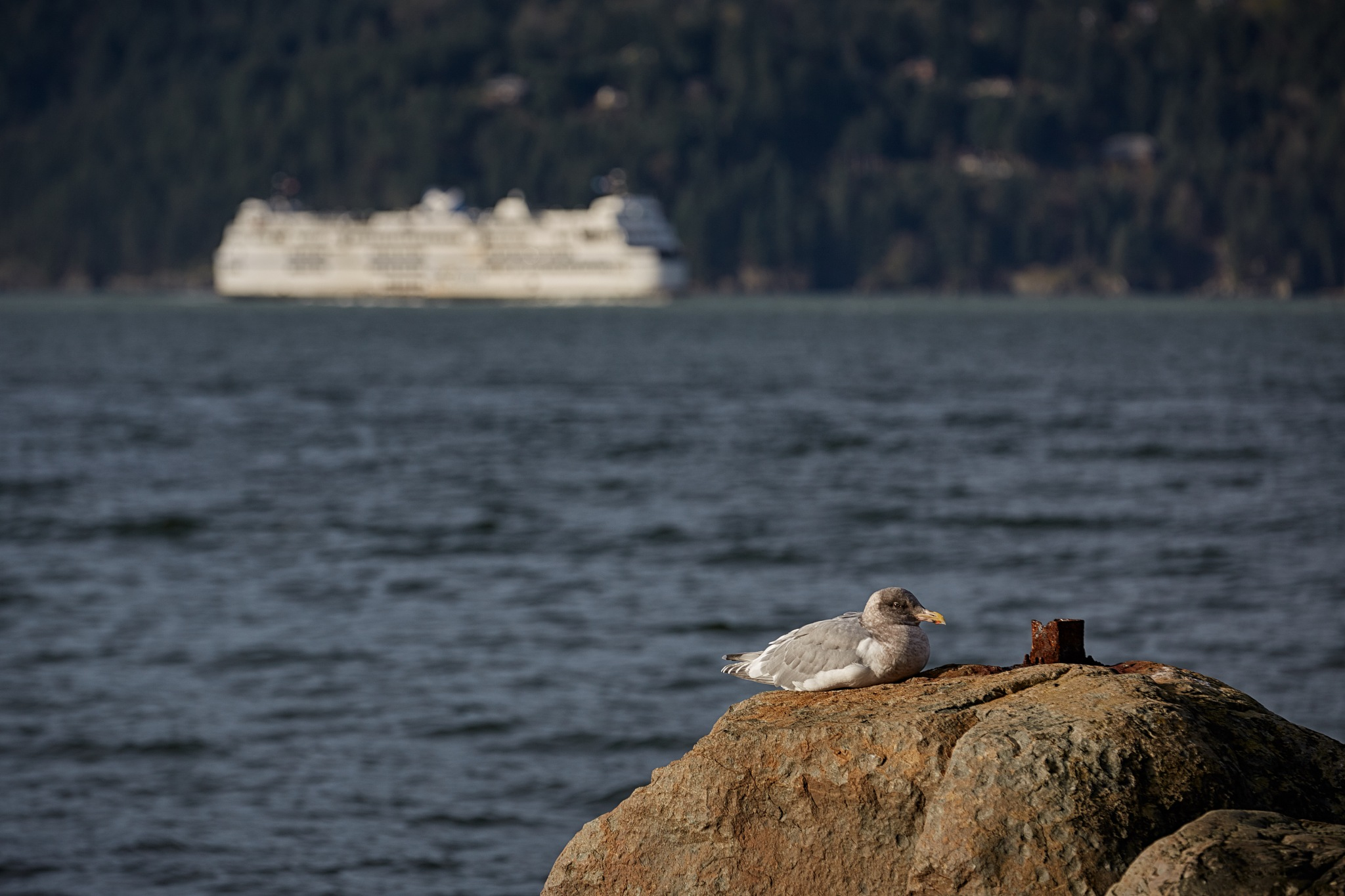 Gull and ferry by Greg Mullaly