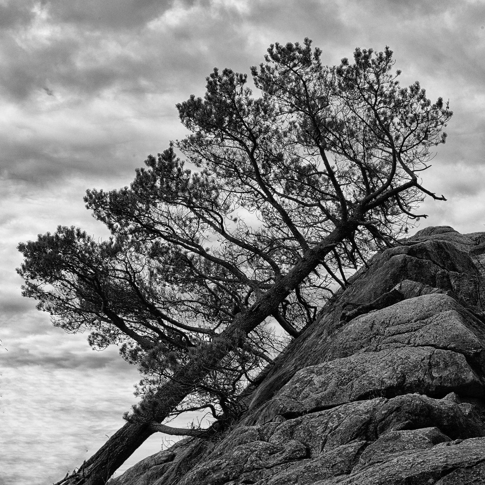 Leaning tree by Greg Mullaly