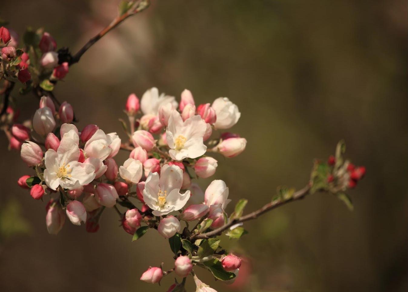 Spring Blossoms by Anna McShane