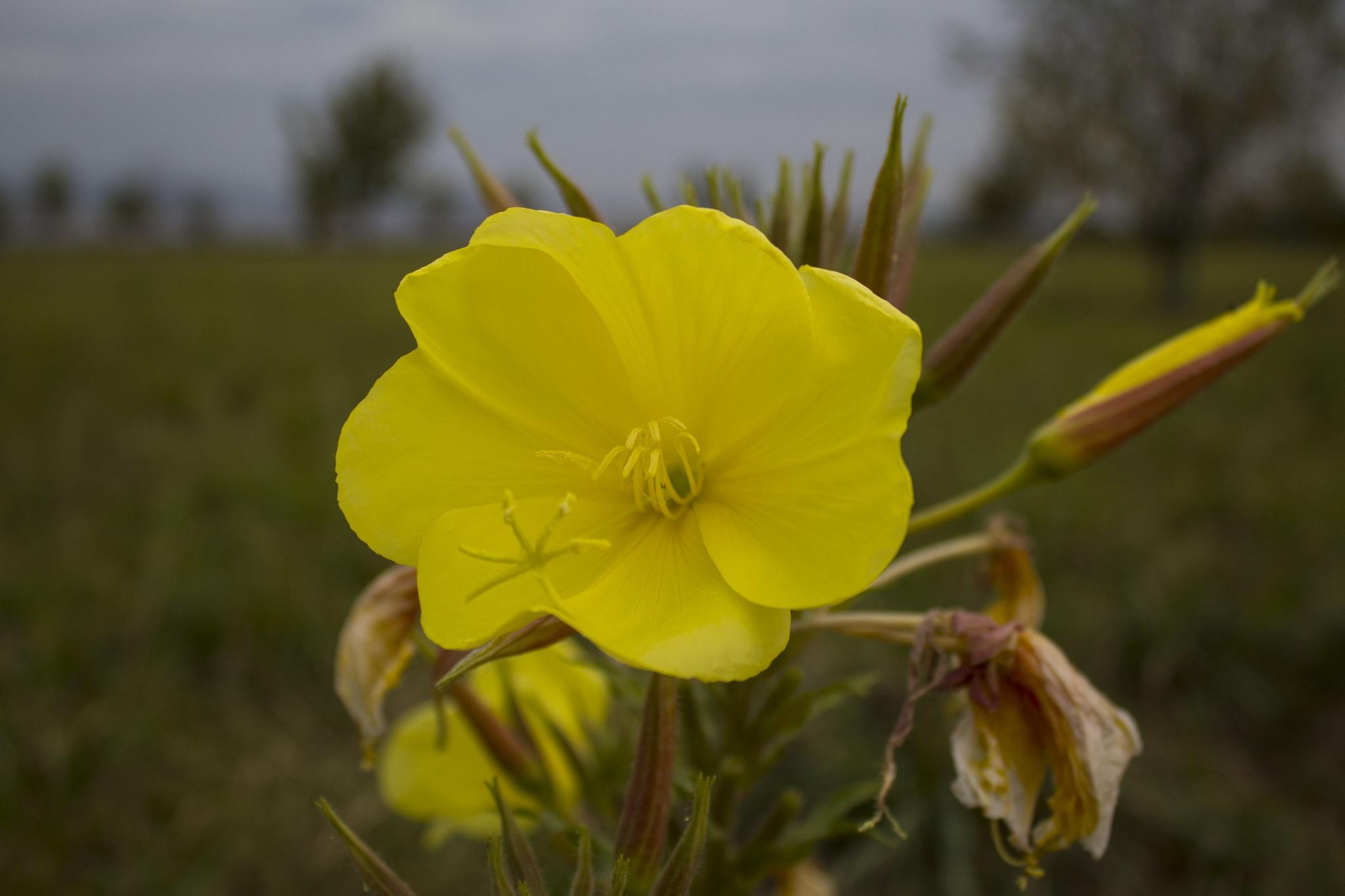 Yellow beauty by silviatimea
