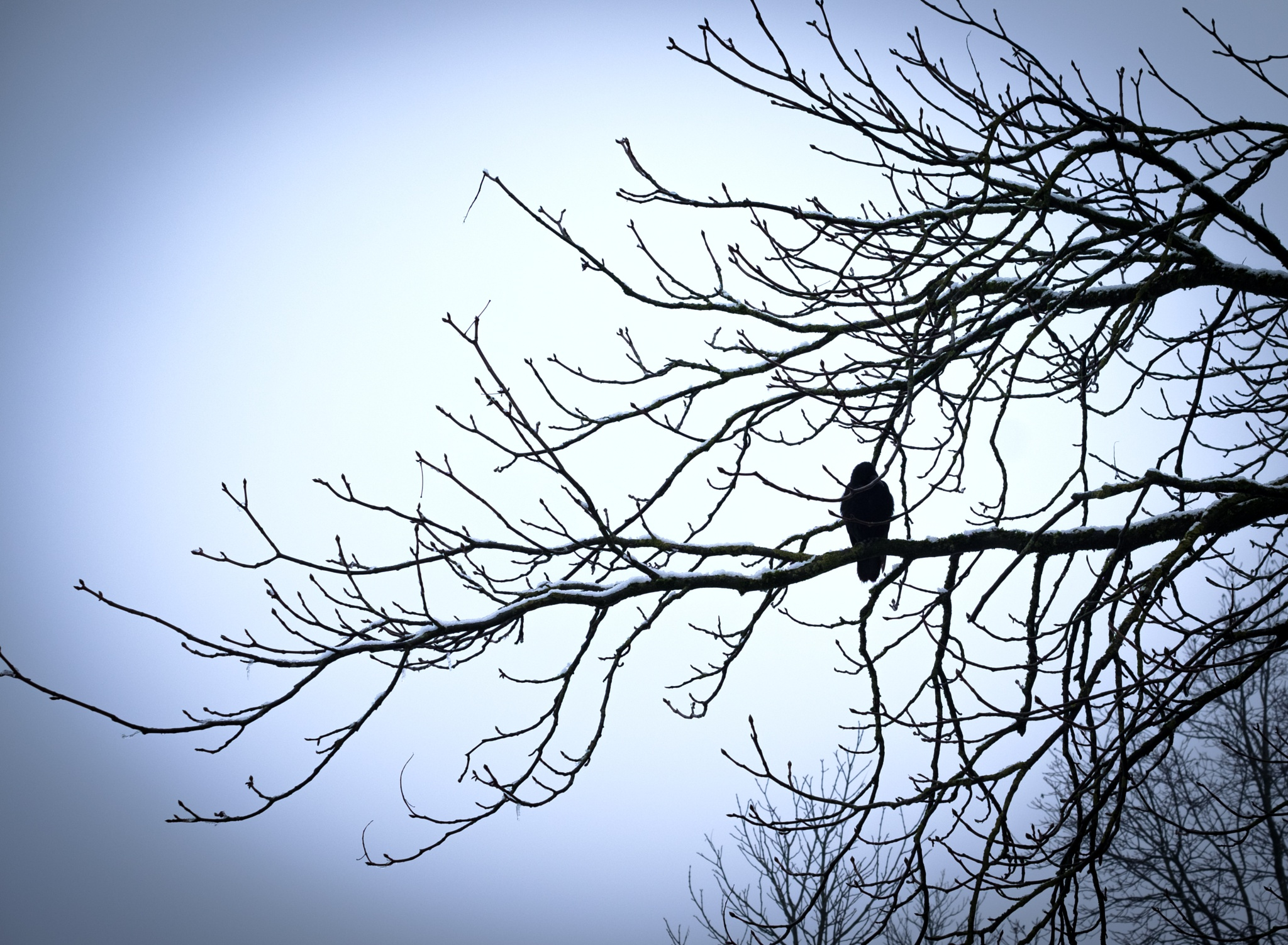 Photo in Nature #crow #tree #blueish