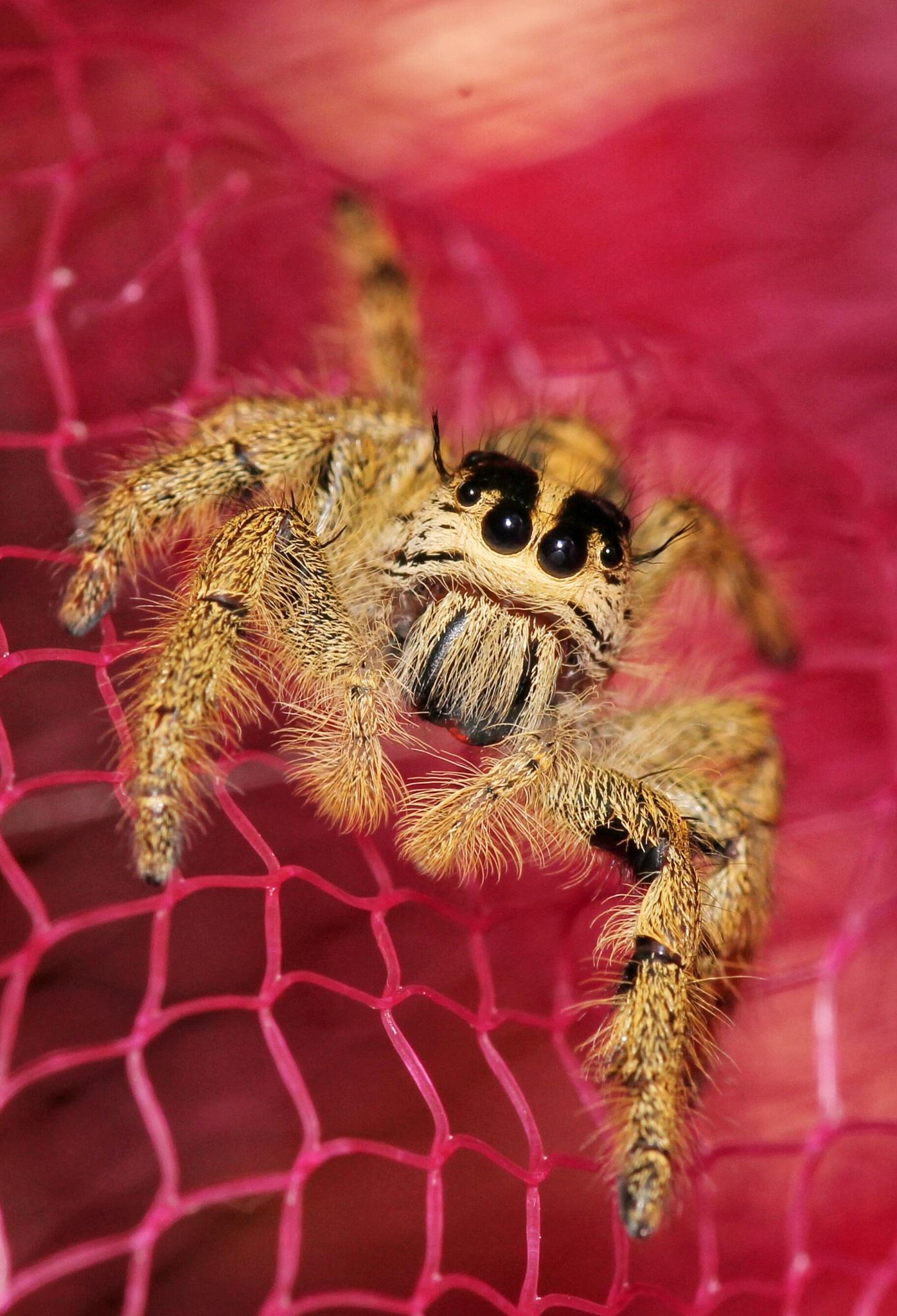 jumper spider by KangPermana
