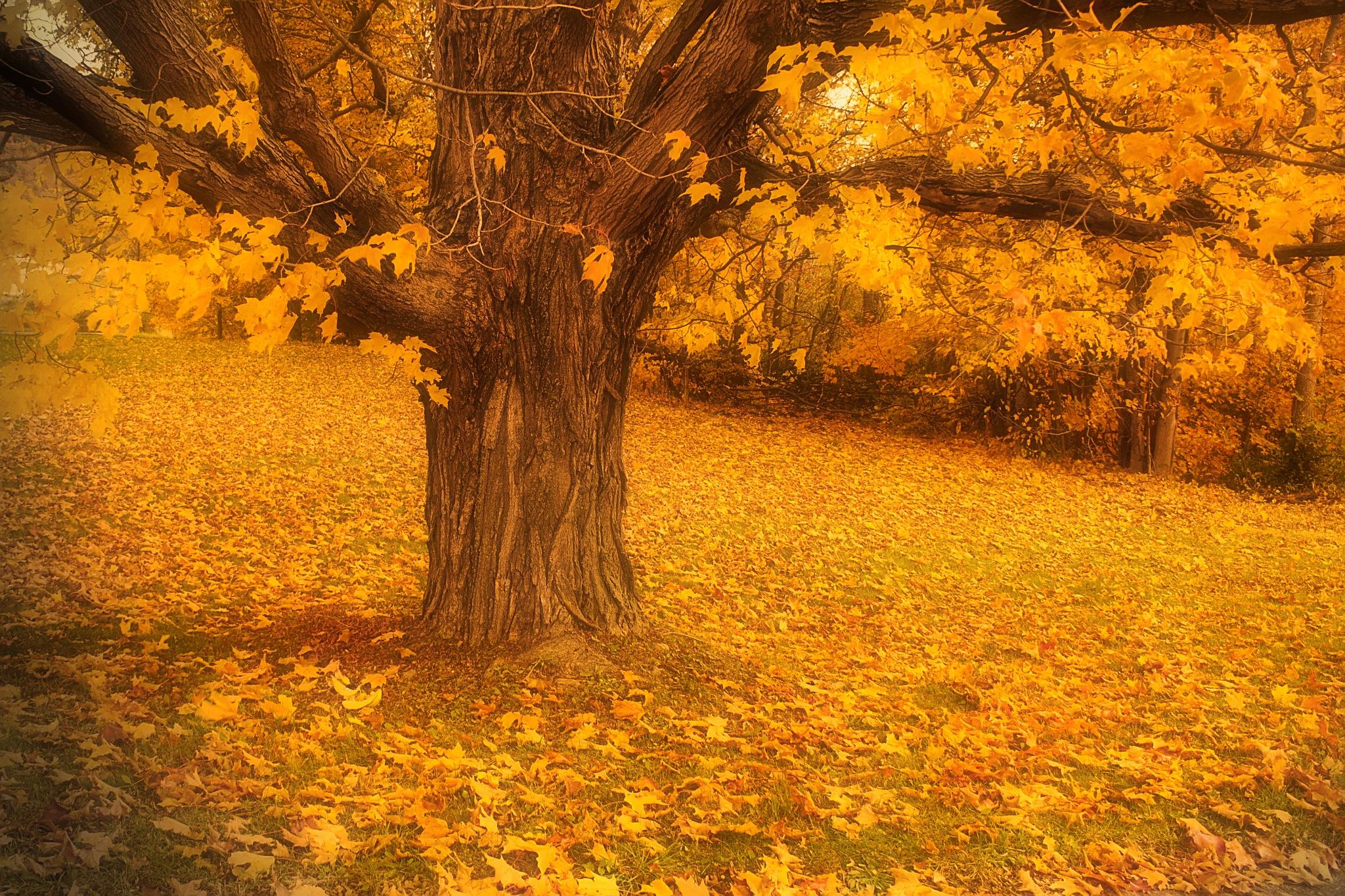 Fall Gold  by Scott