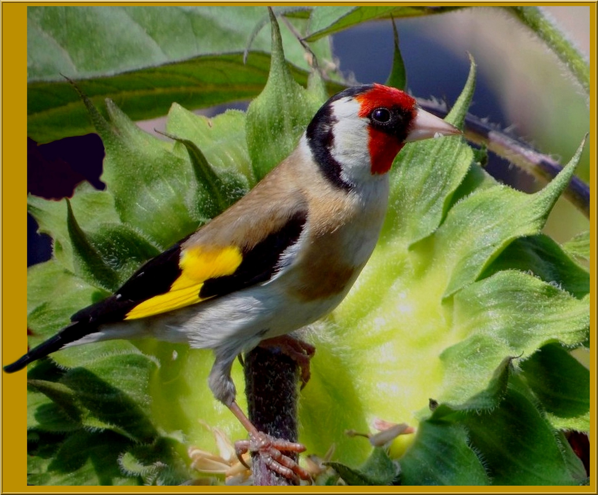 Goldfinch on sunflower blossom by Mariano Arizzi Novelli