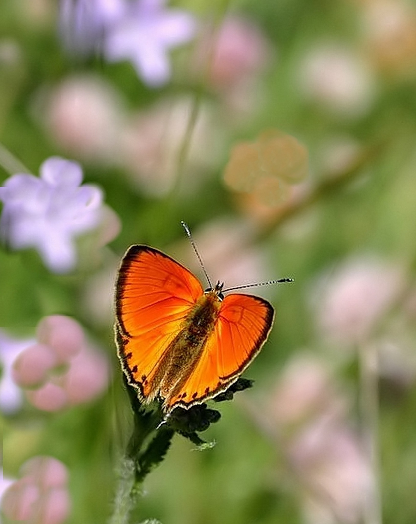 flower among flowers ;  Lycenida butterfly by Mariano Arizzi Novelli
