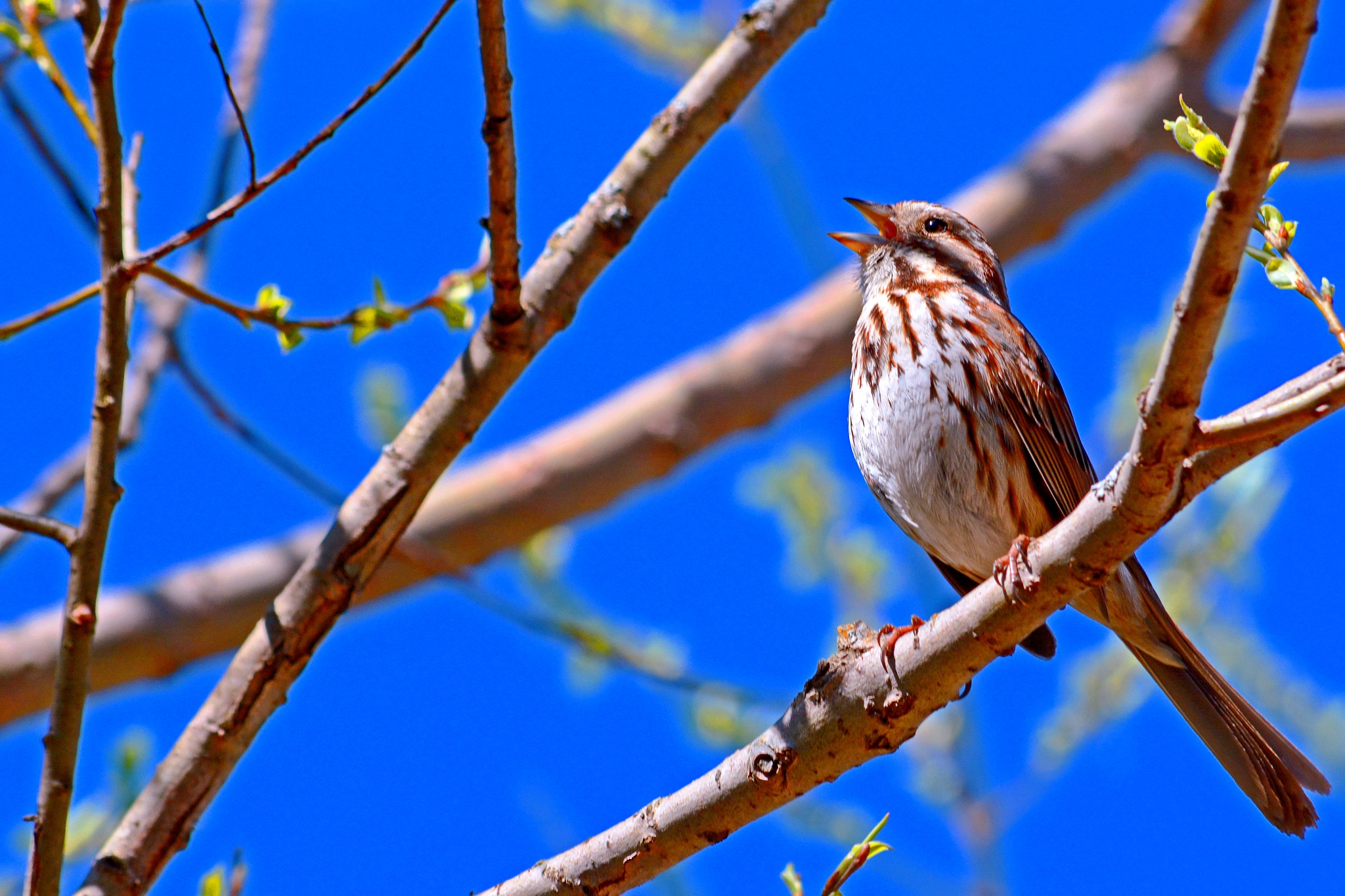 The Song Sparrow by William C. Burton