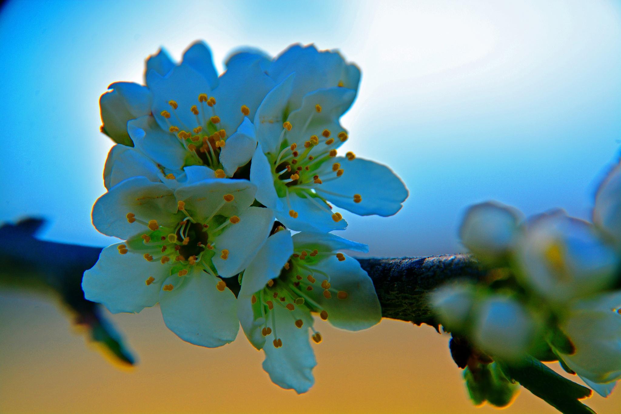 Plumb tree blossom by William C. Burton