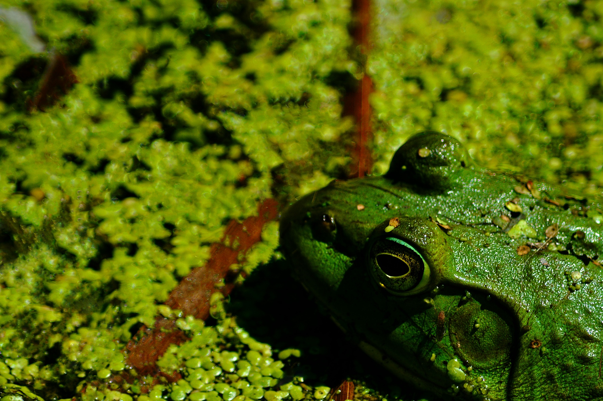 Frog in camouflage by William C. Burton
