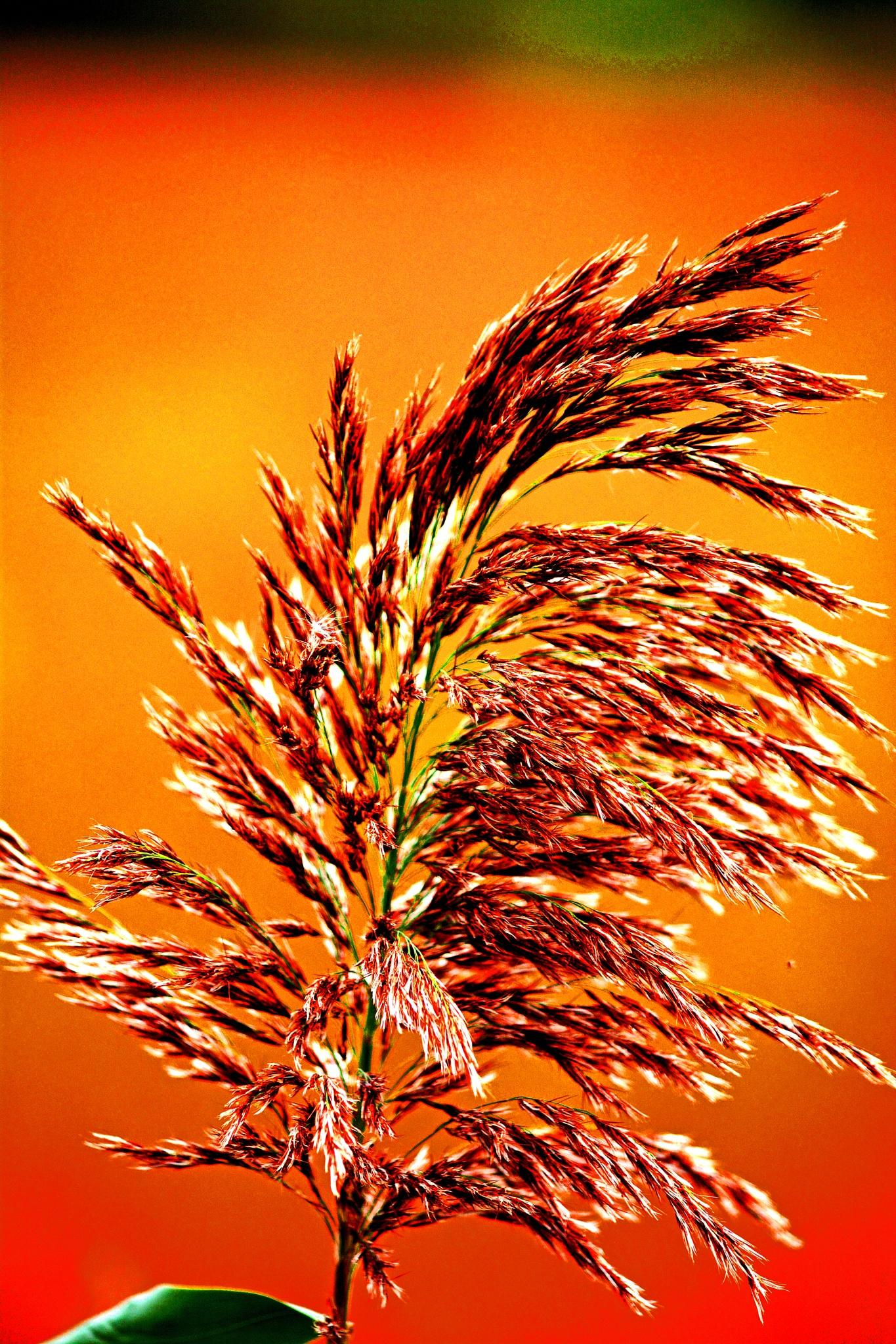 Invasive Phragmites (European Common Reed) by William C. Burton