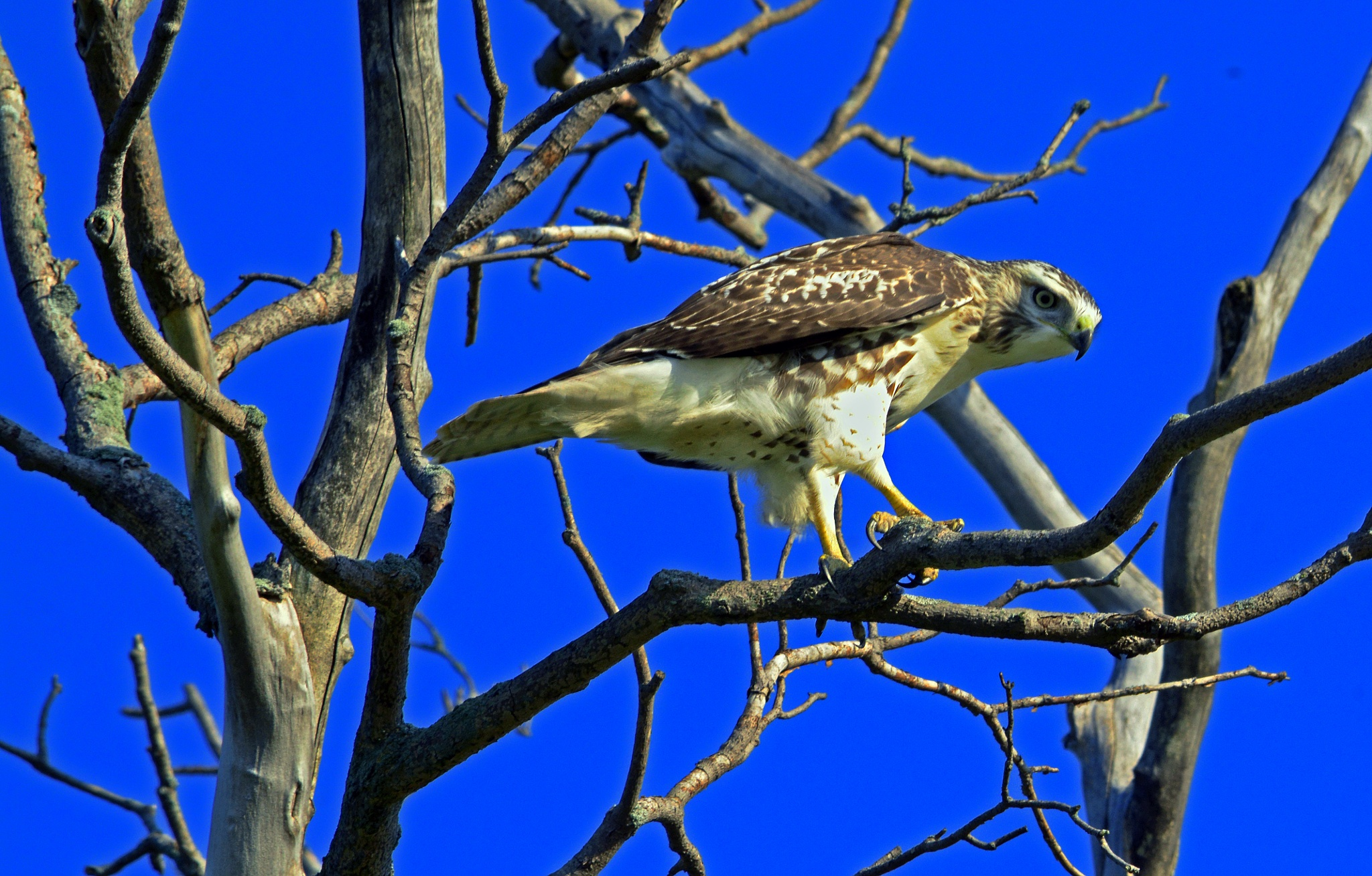Juvenile Hawk by William C. Burton