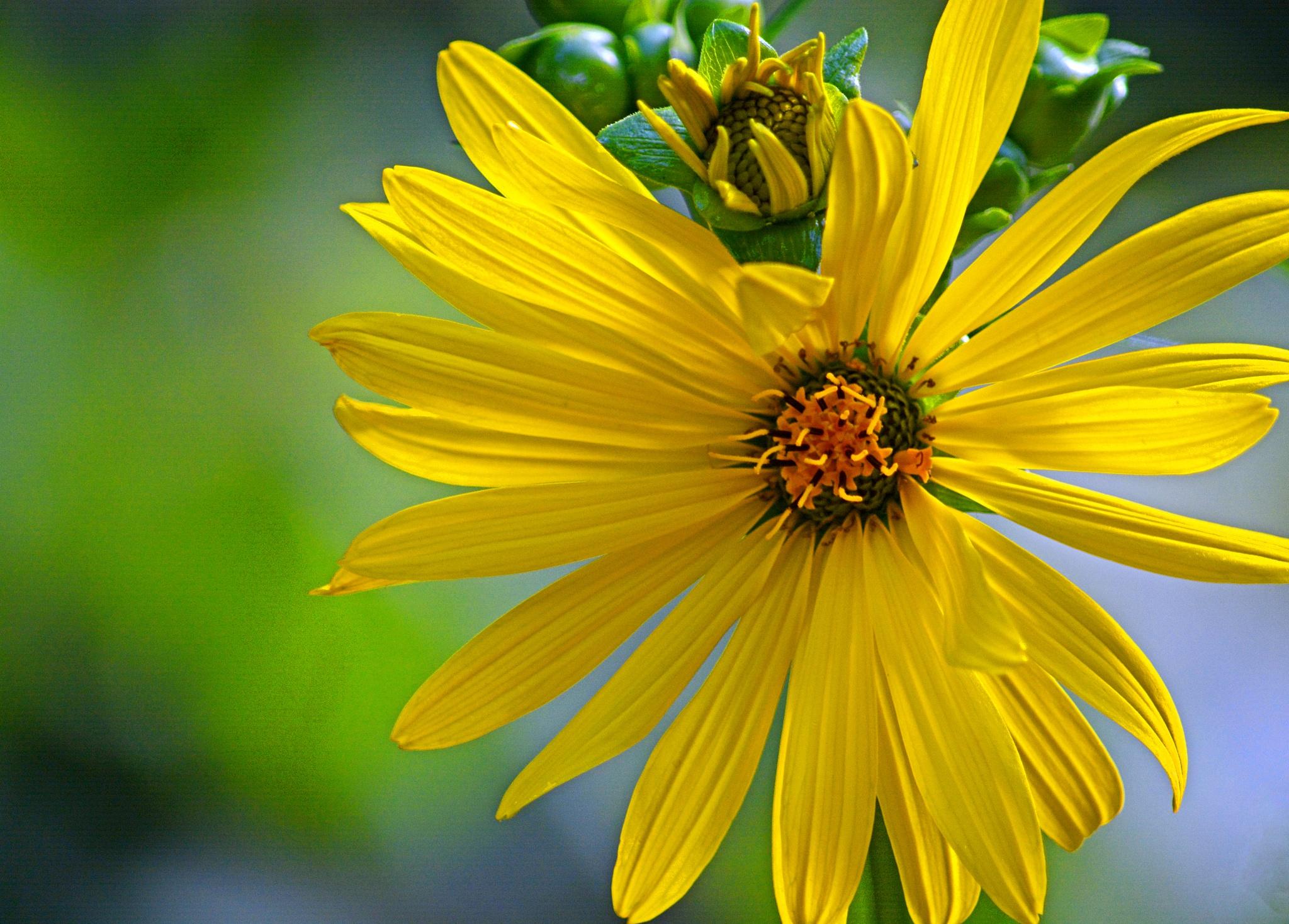 Cup Plant flower - Silphium perfoliatum  by William C. Burton