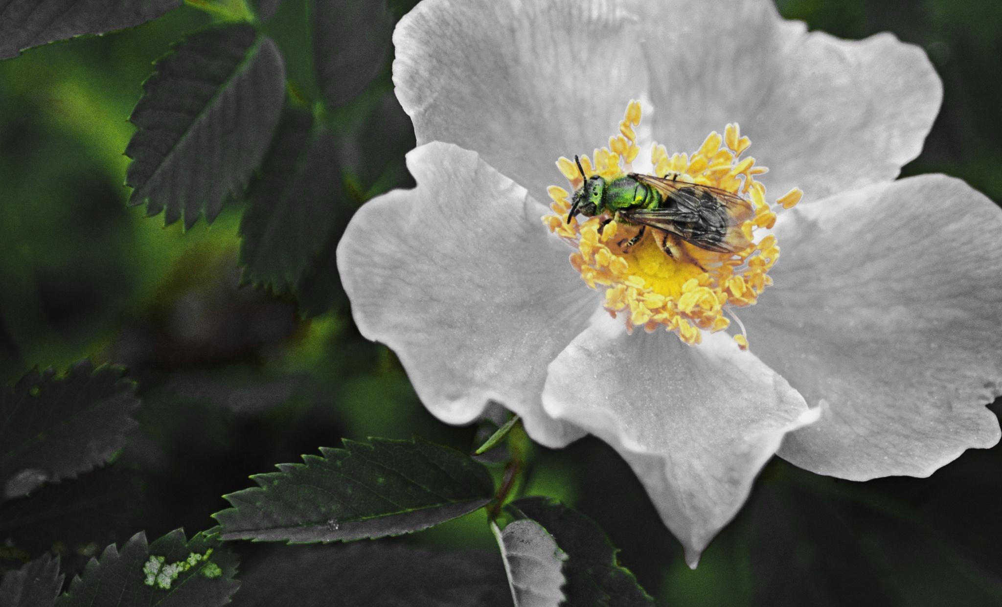 Green Sweat Bee by William C. Burton