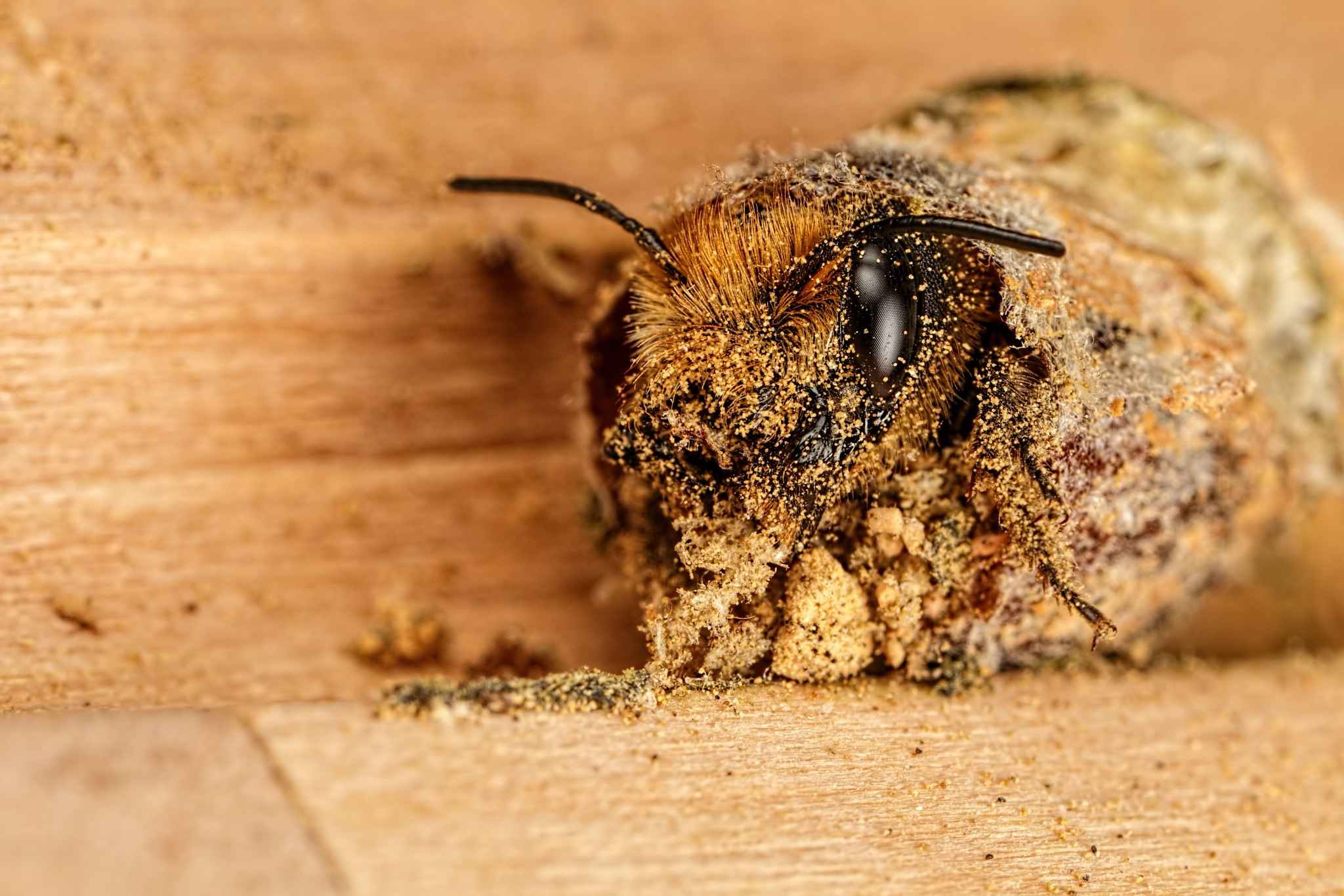 Hatching Female Red Mason Bee by Dalantech