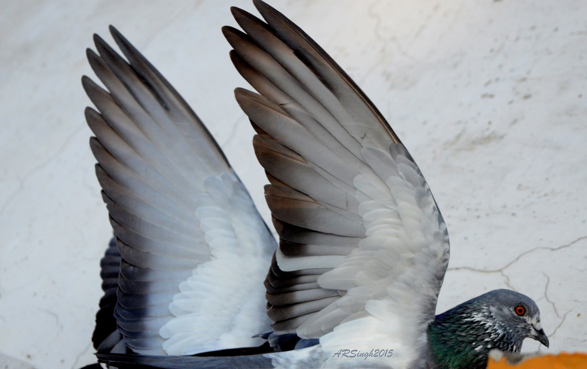 Rock Pigeons playing Titanic-Titanic by AbhayaRajSingh