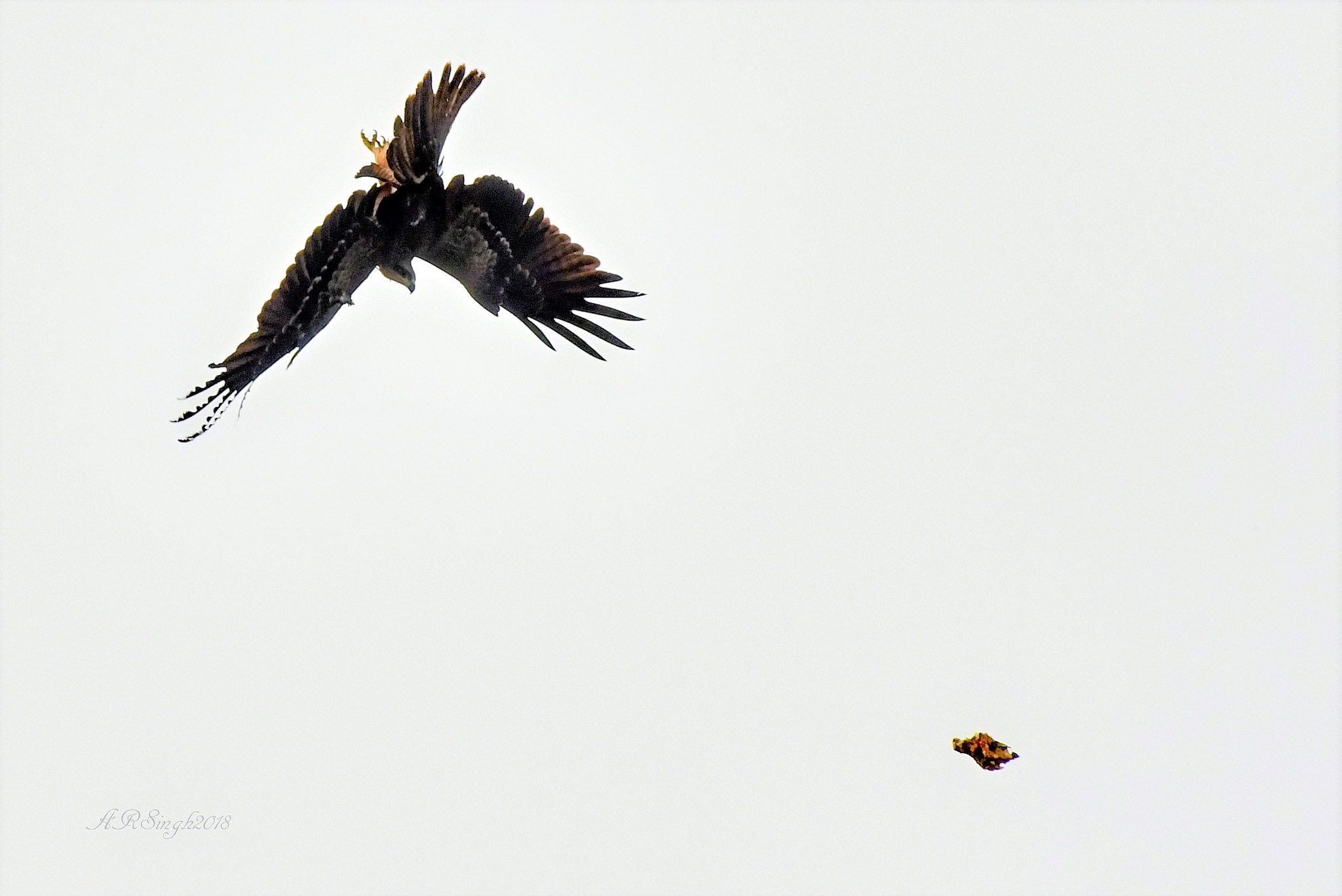 Black Kite diving to re-catch the food. by AbhayaRajSingh