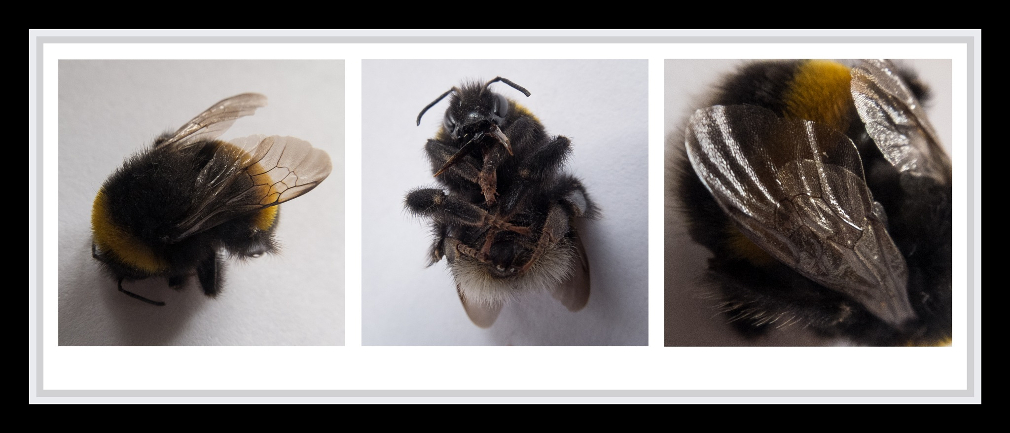 Bee Triptych by kevPugh