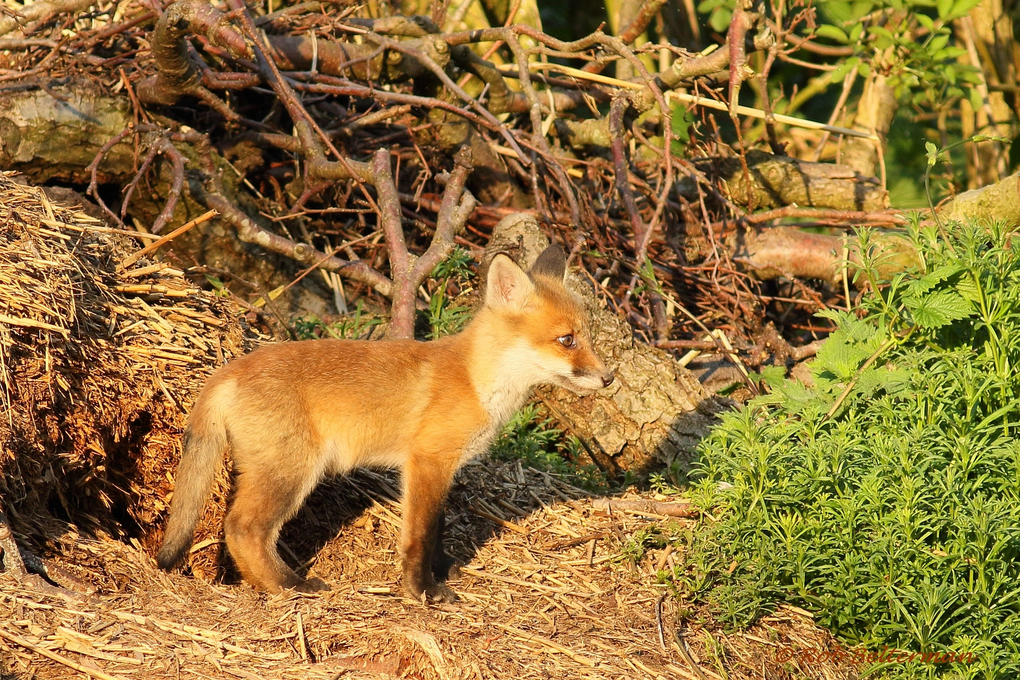 Red Fox Cub by robbelterman