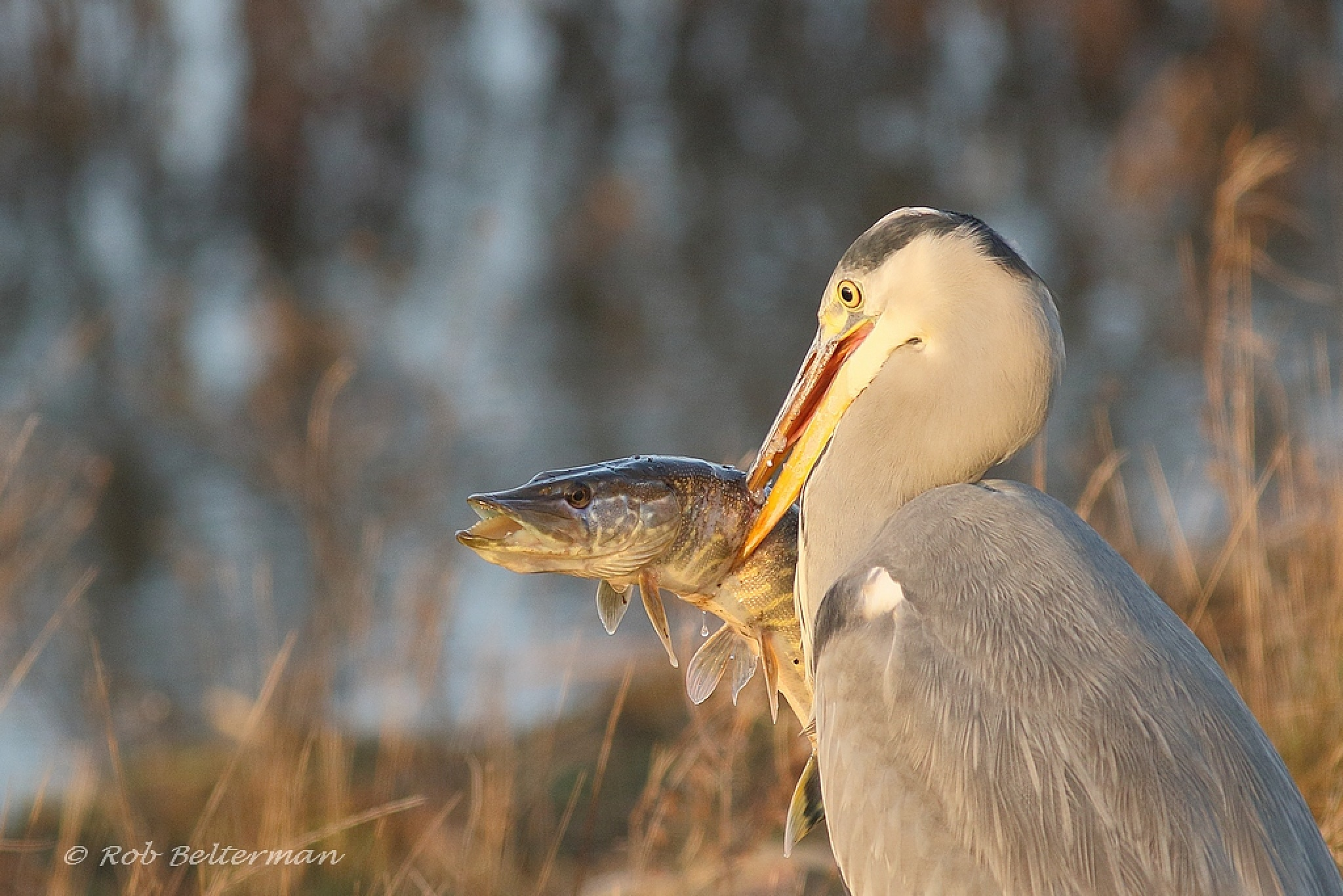 Heron with Pike by robbelterman
