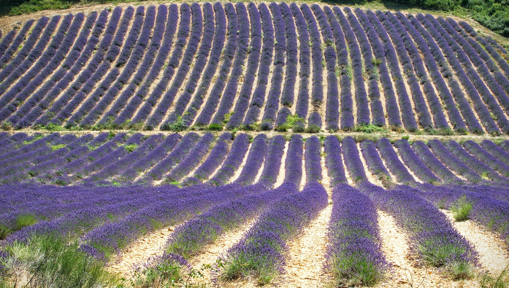 You can't get enough from the view and smell of lavendel fields by Ton Bos