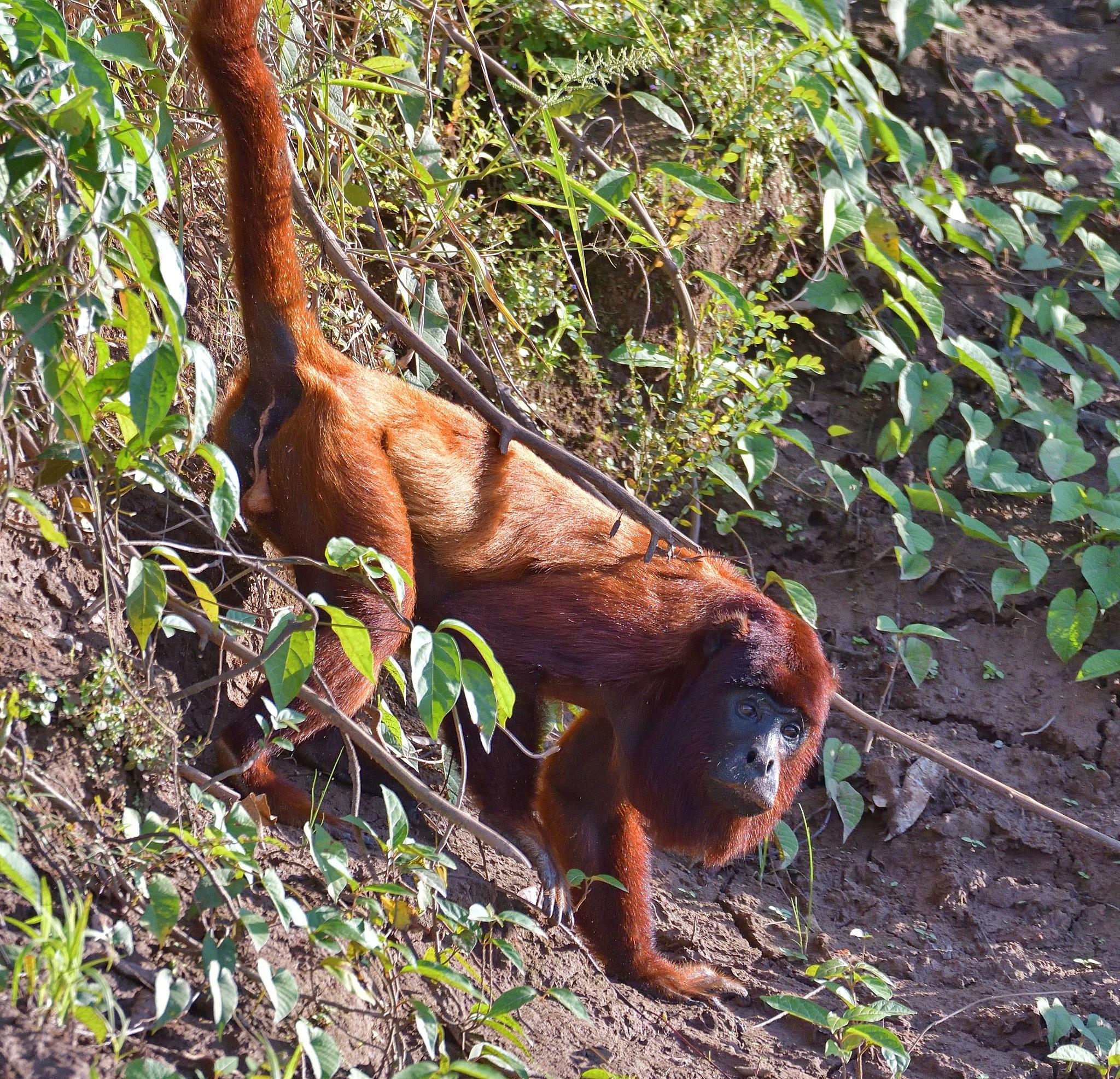 Howler monkey near the riverside by Ton Bos