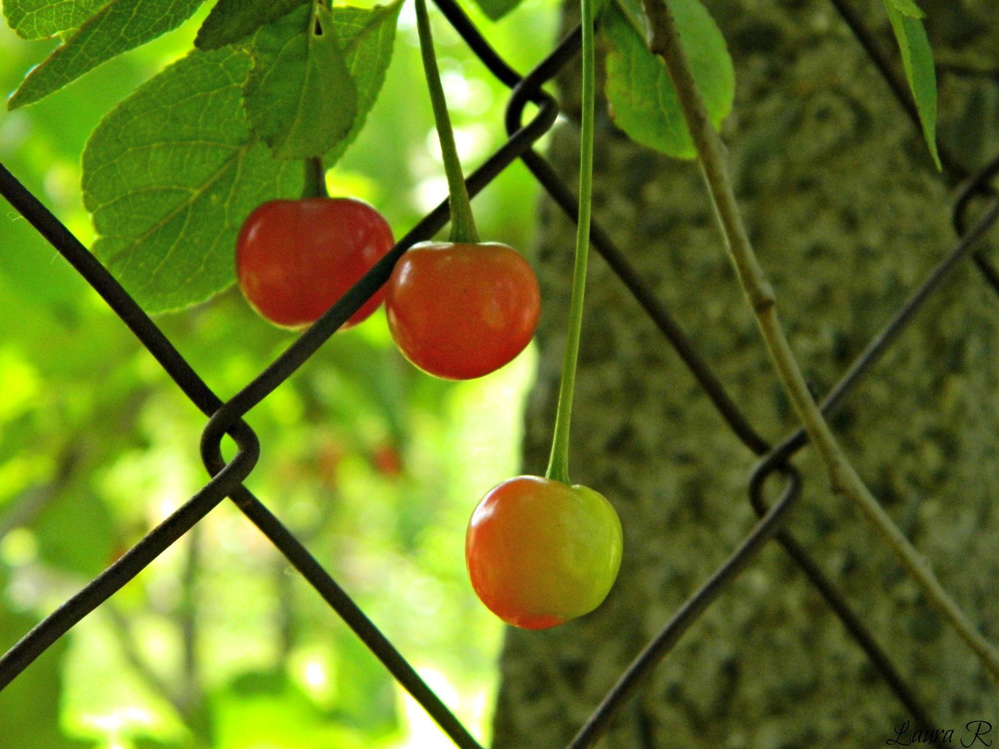 cherry by Rusu Laura Mihaela