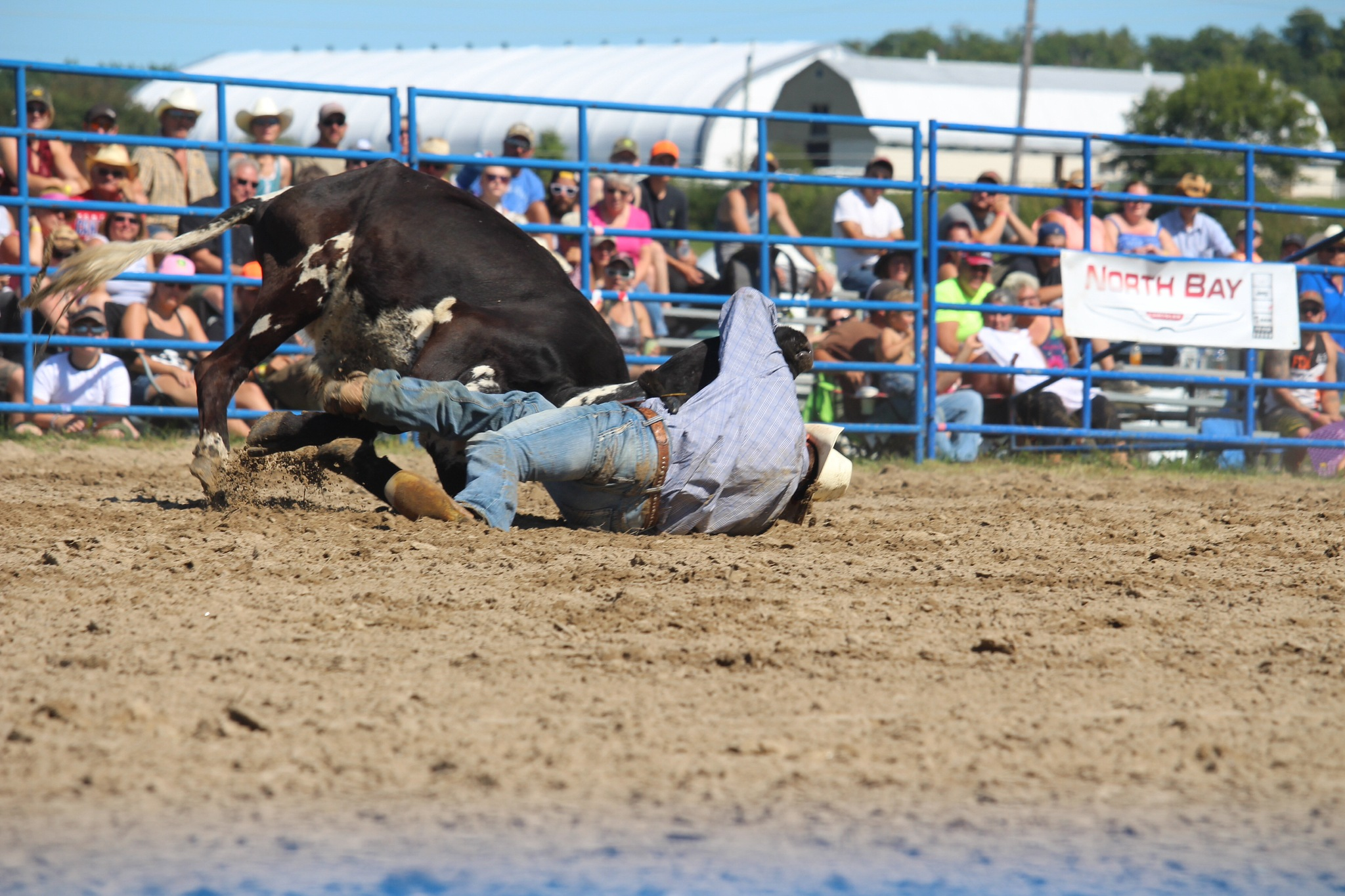Rodeo bull down  by Amy Arra