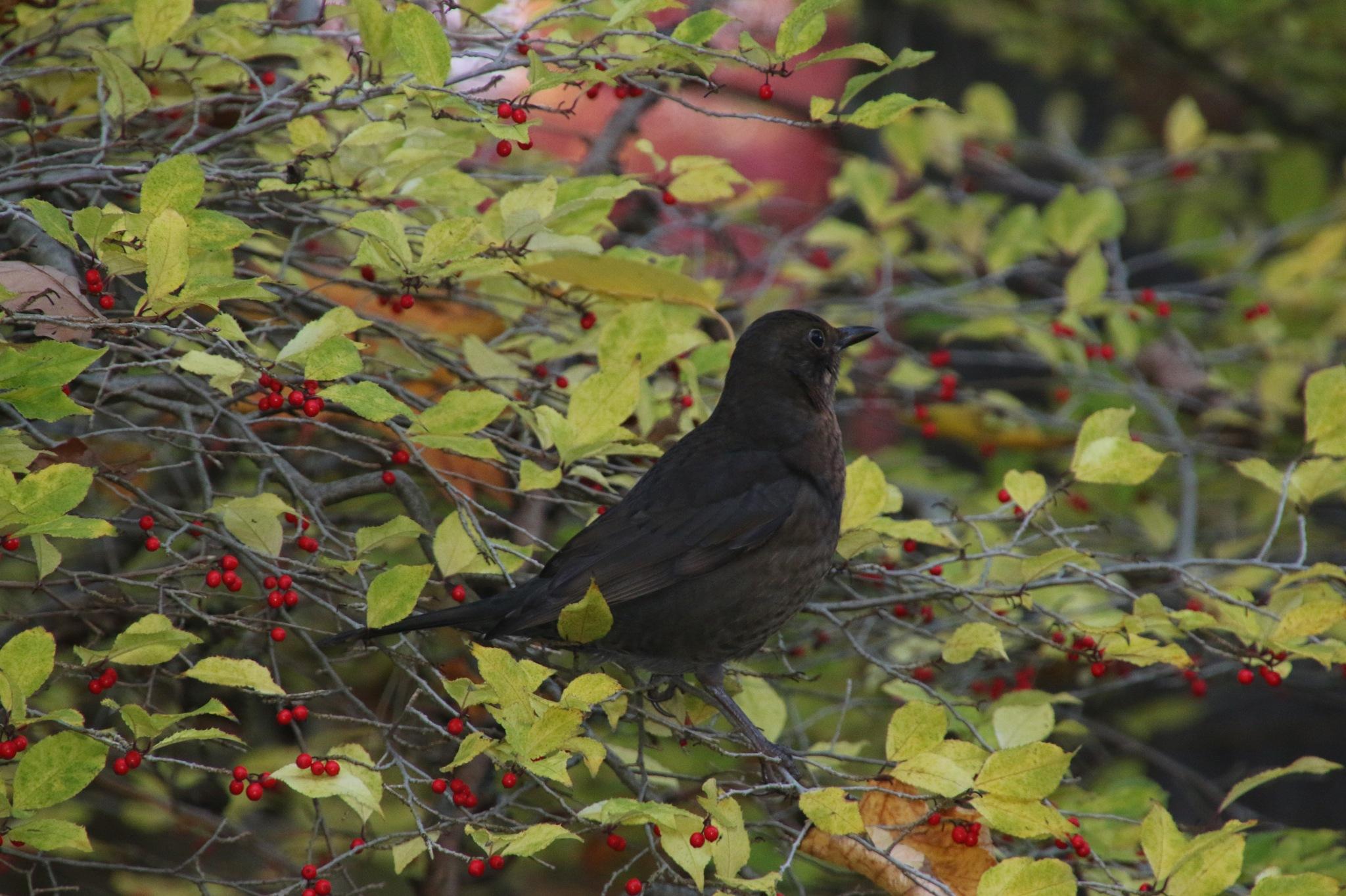Blackbird by Mikael Ekström