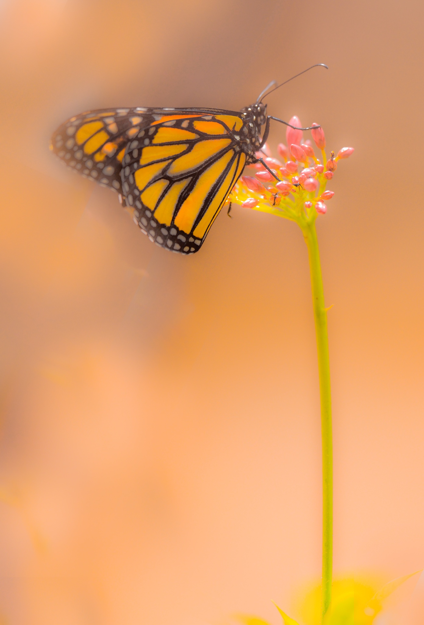 Monarch In The Mist by Mike Parker