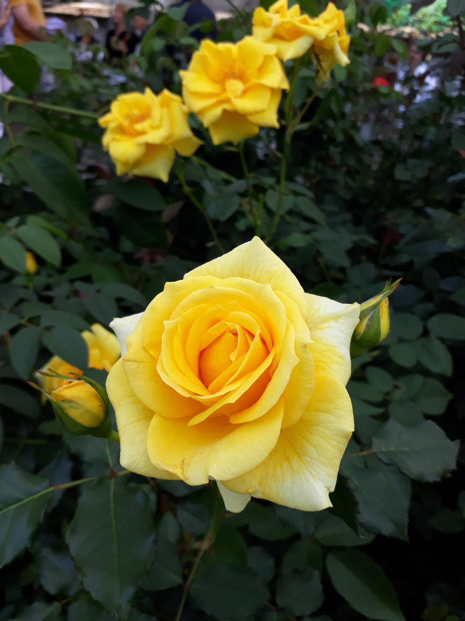 Yellow Roses by Gabriele Tusnelde Haldemann