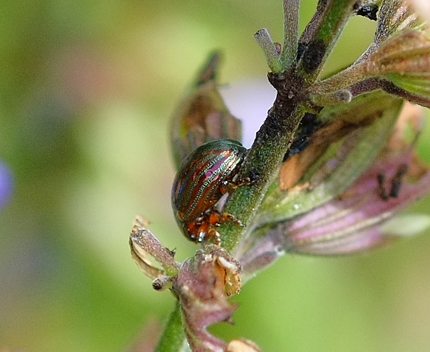 Rosemary beetle (chrysolina americana) on a sage plant by Pete Hussey