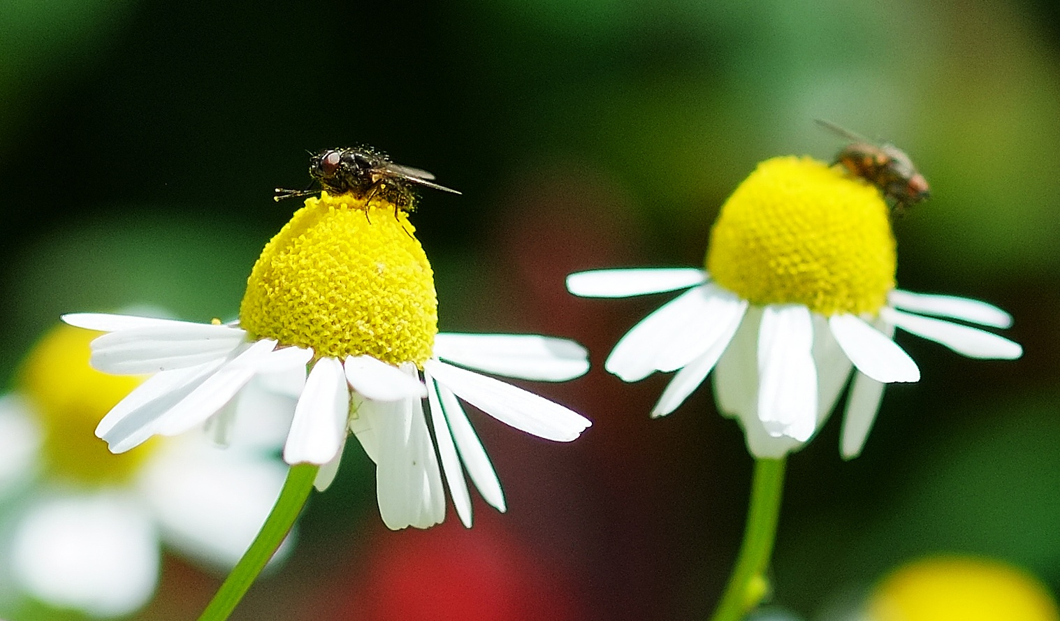 Flies on Feverfew by Pete Hussey