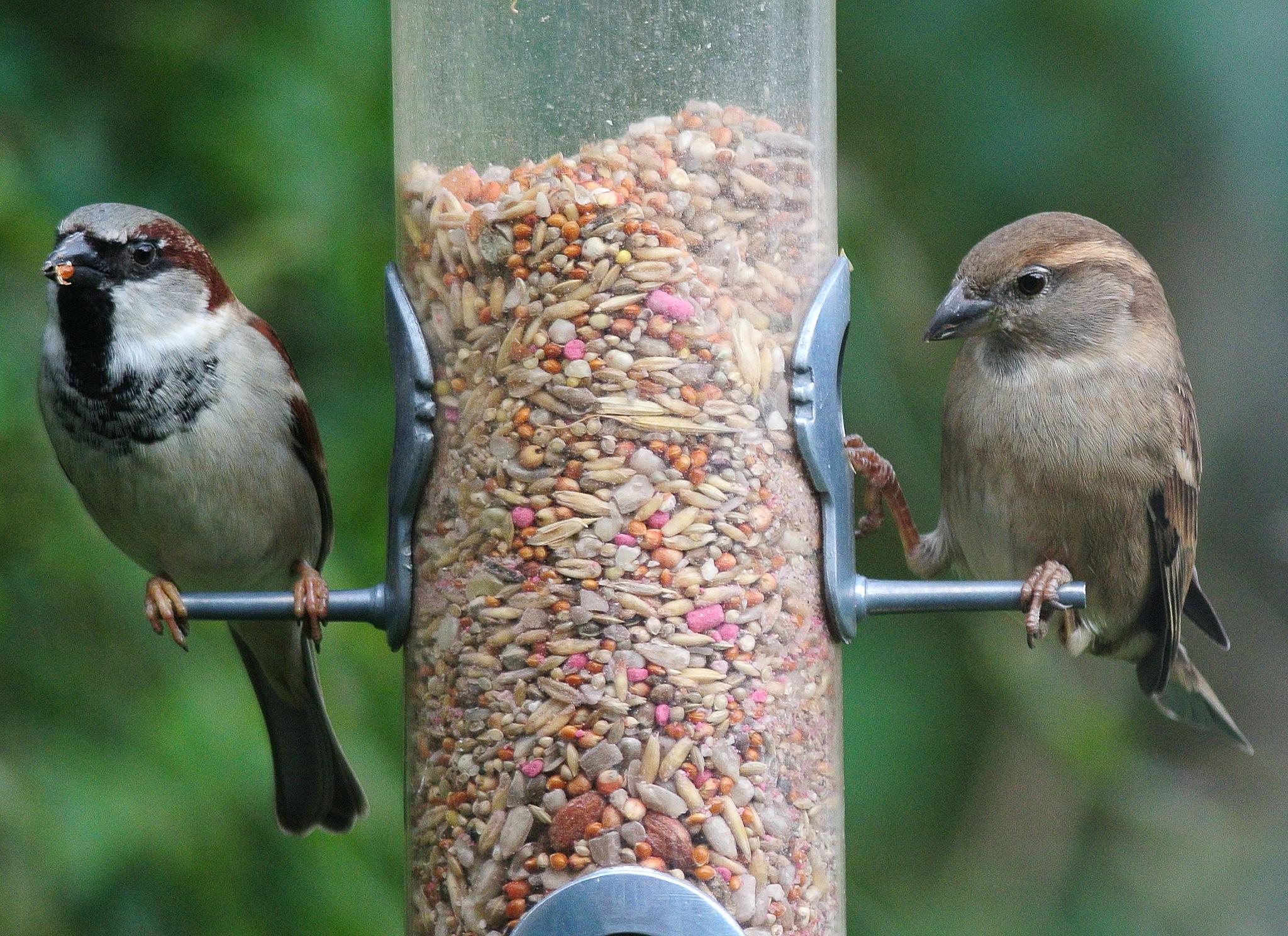 Photo in Animal #sparrows #birds #garden feeder #bird seed #wild birds #garden