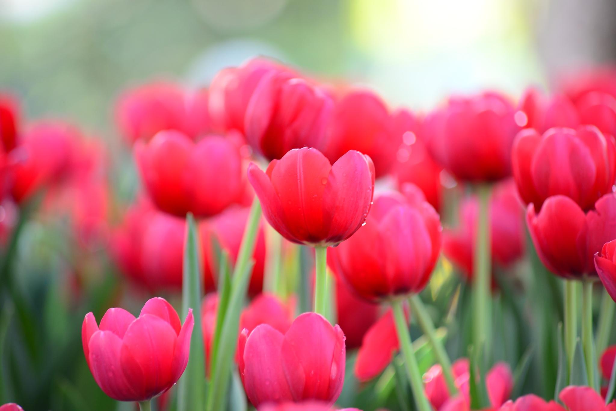 Tulip by Trung Đặng