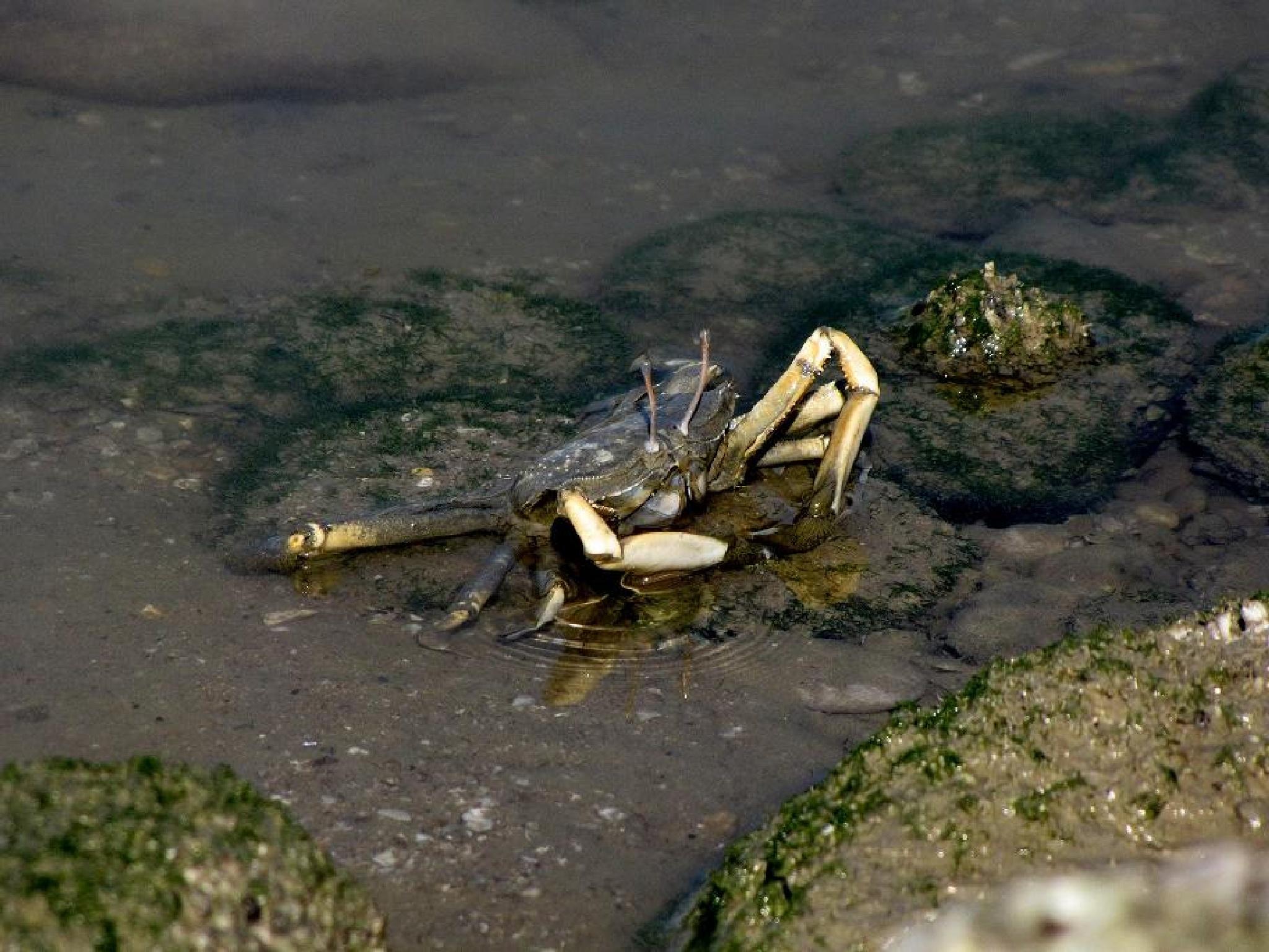 خرچنگ by omidshahinpoor