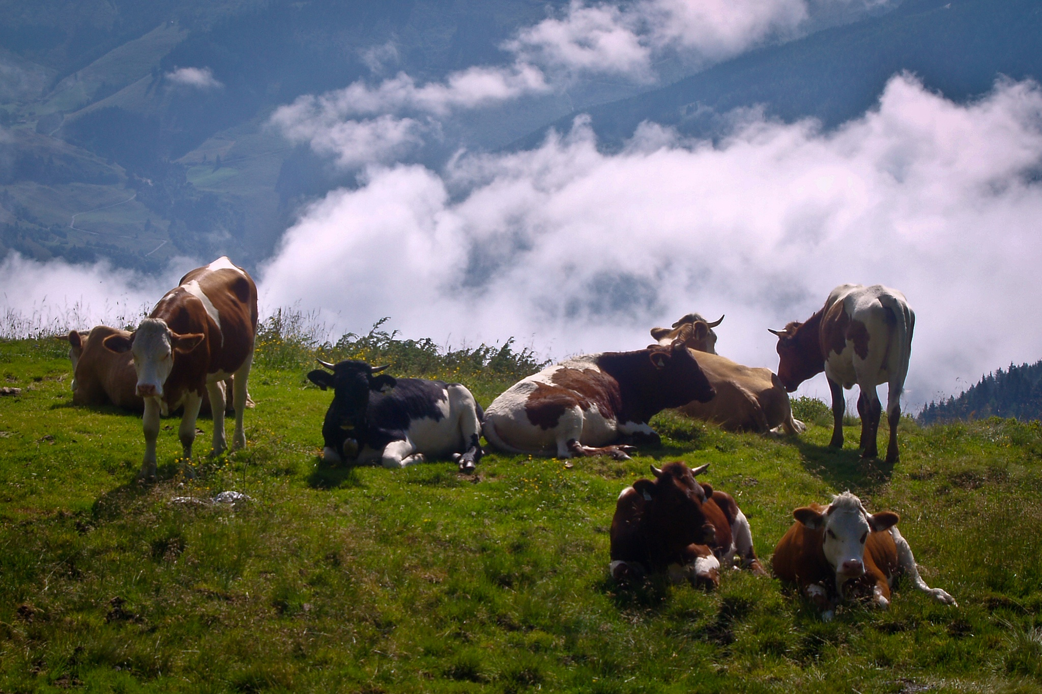 Alpine cows by Guntars Krūmiņš